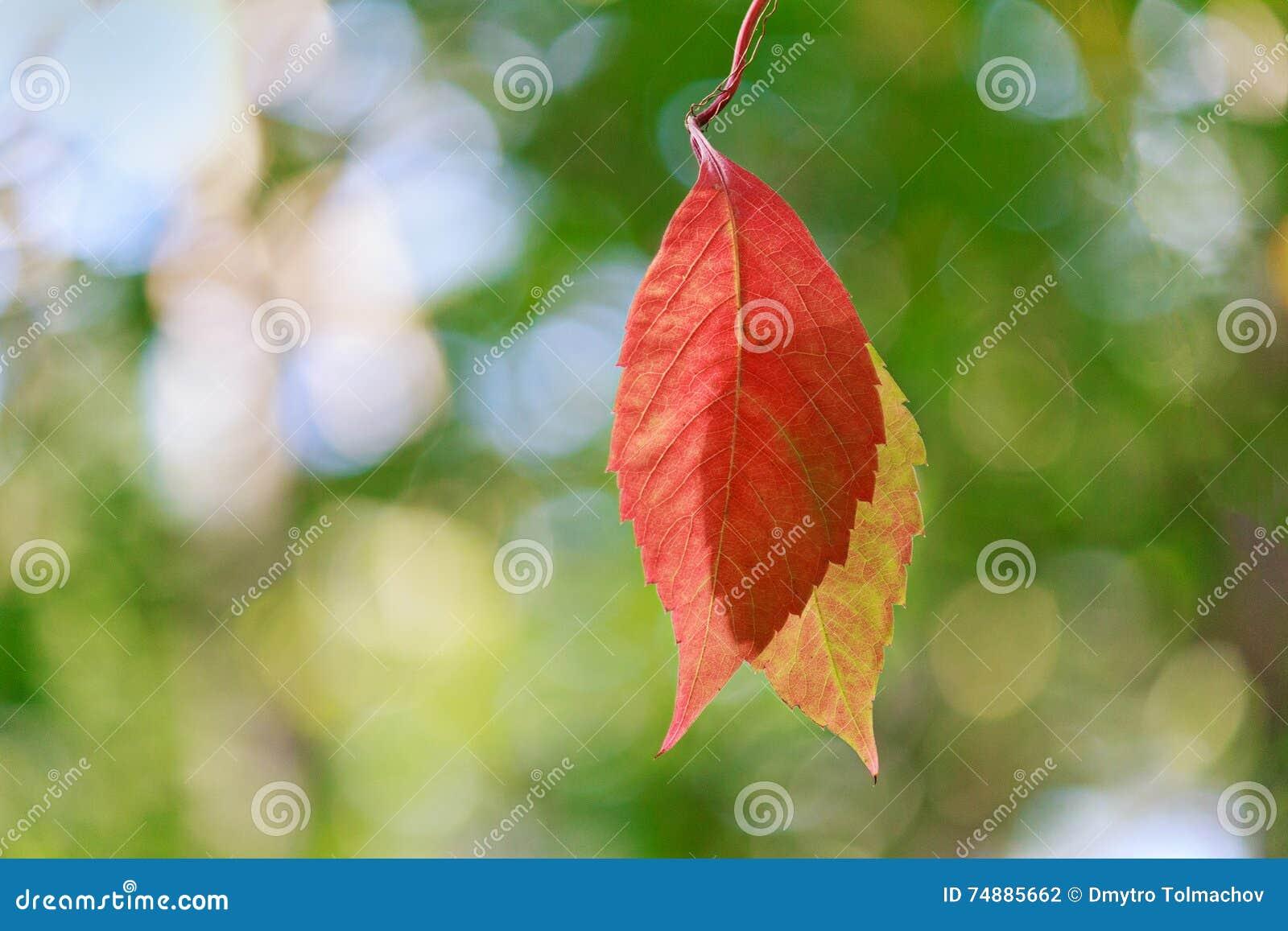Iluminado pelo sol que pendura o close up vermelho da folha