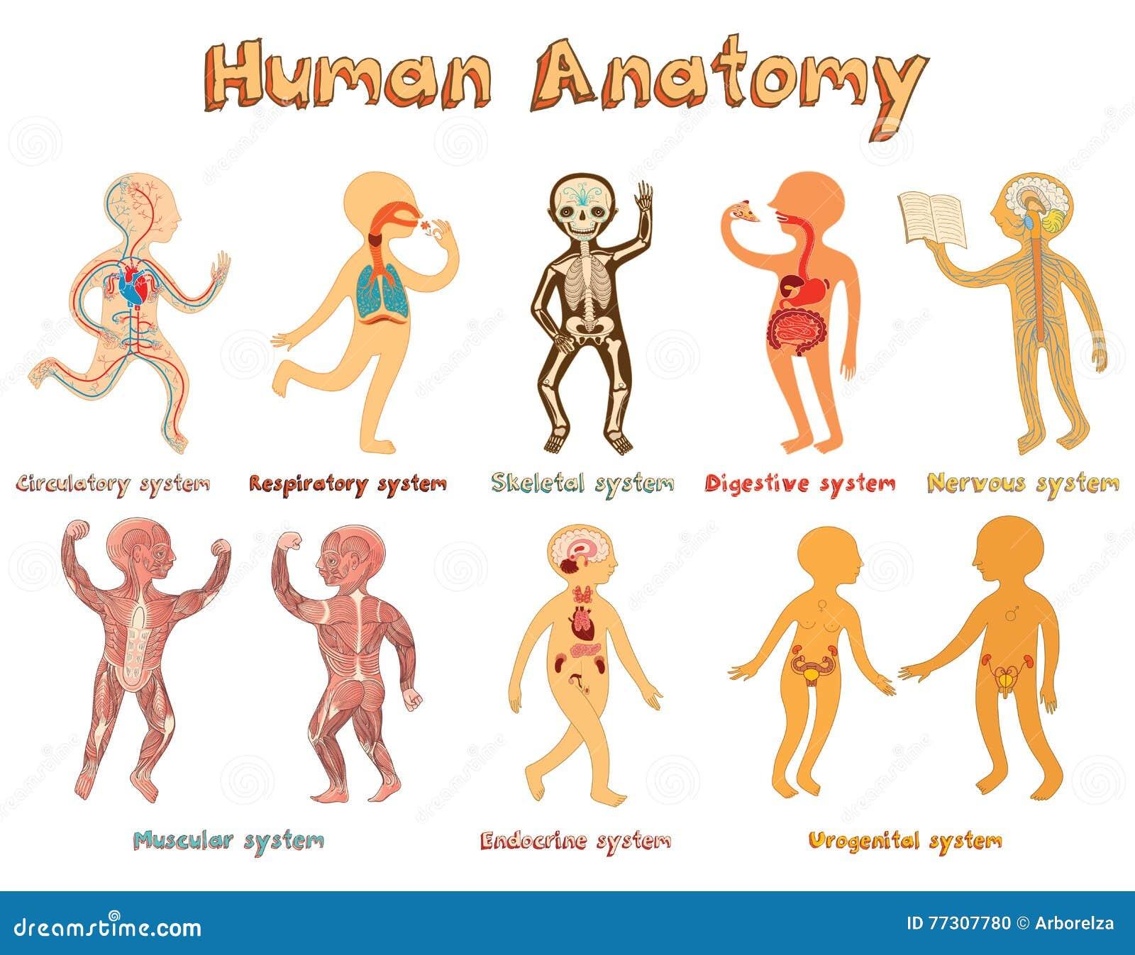 Ilustração da anatomia humana, sistemas de órgãos para crianças