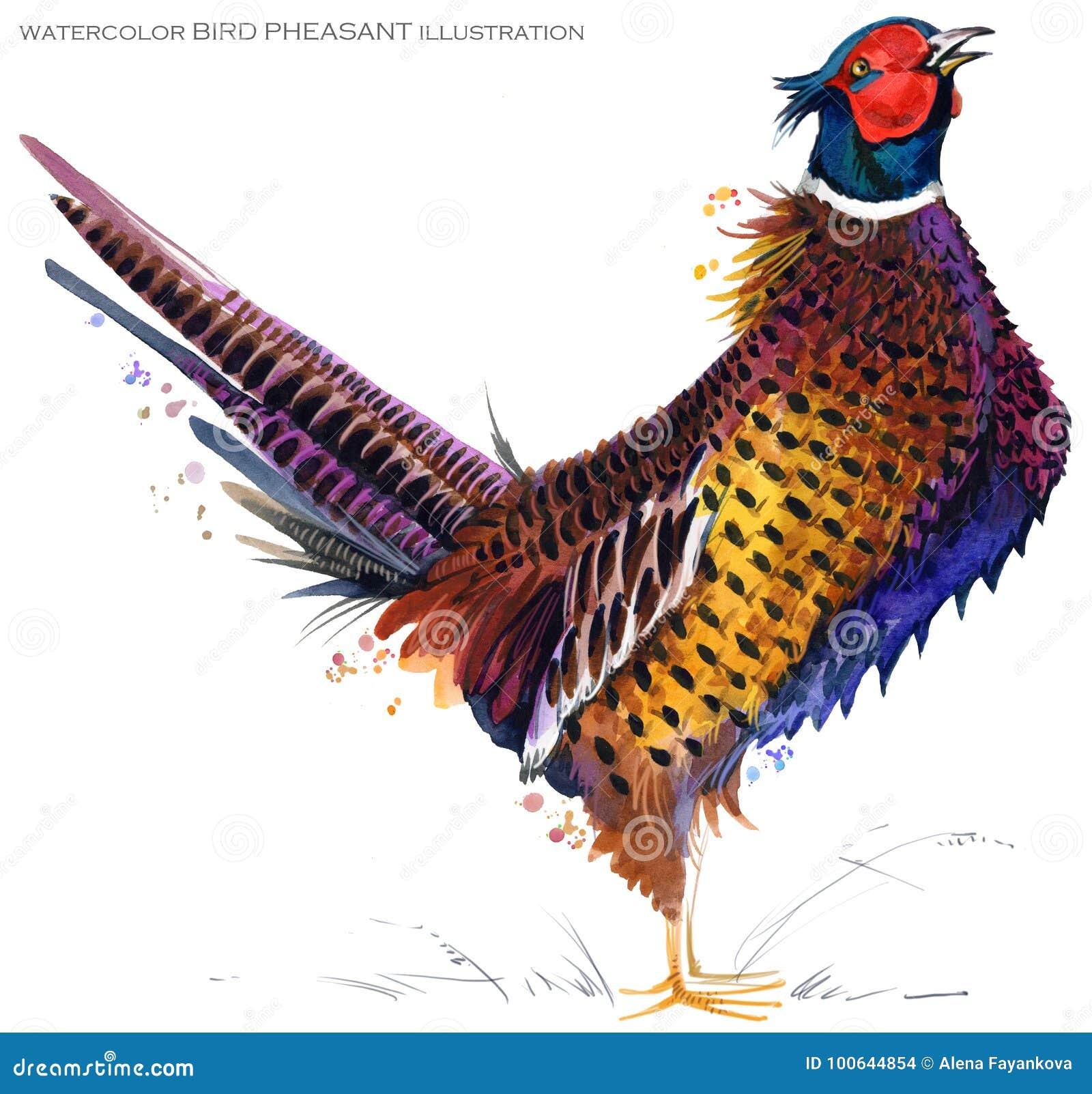 Ilustração da aquarela do faisão do pássaro