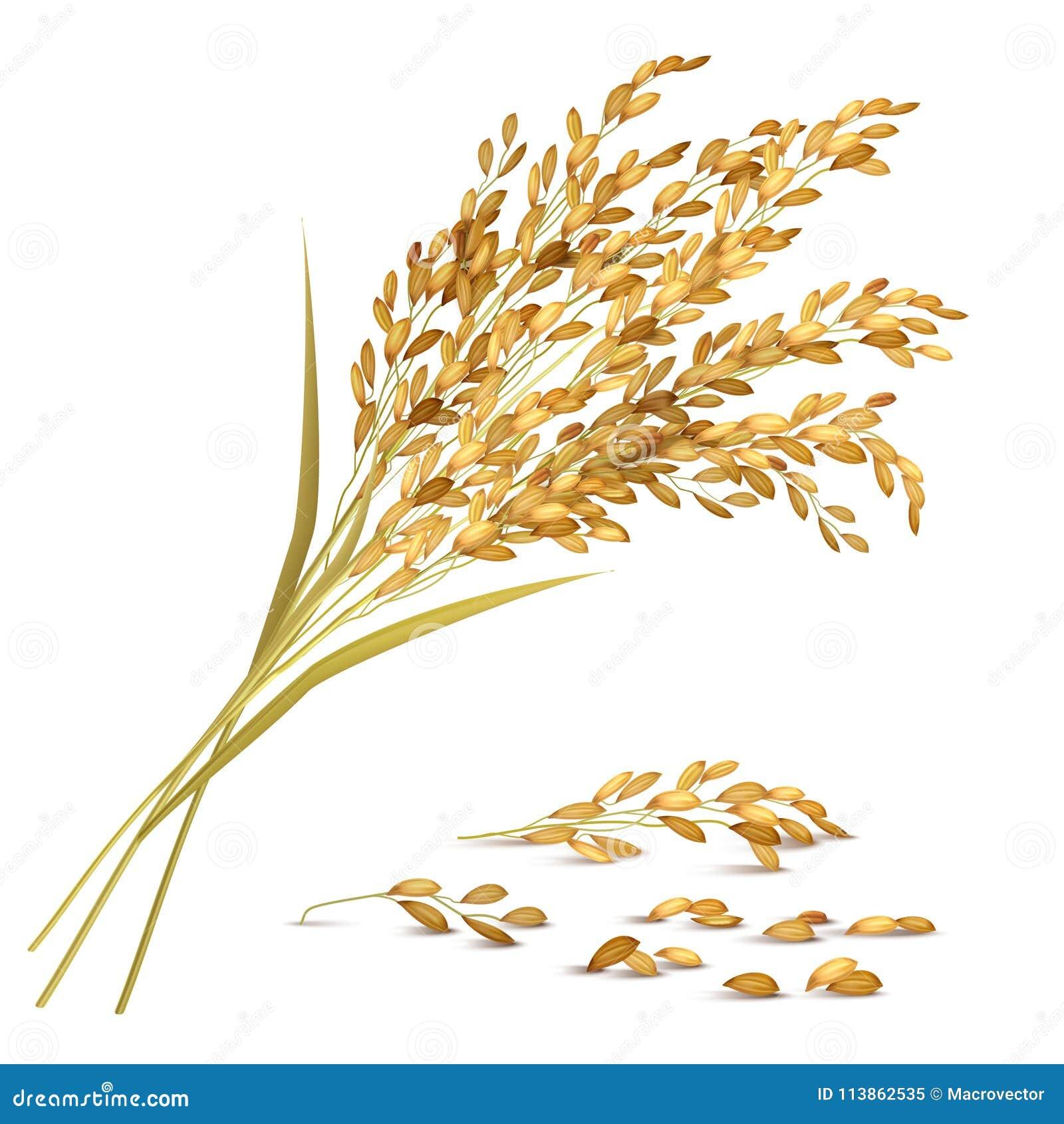 Ilustração da grão do arroz
