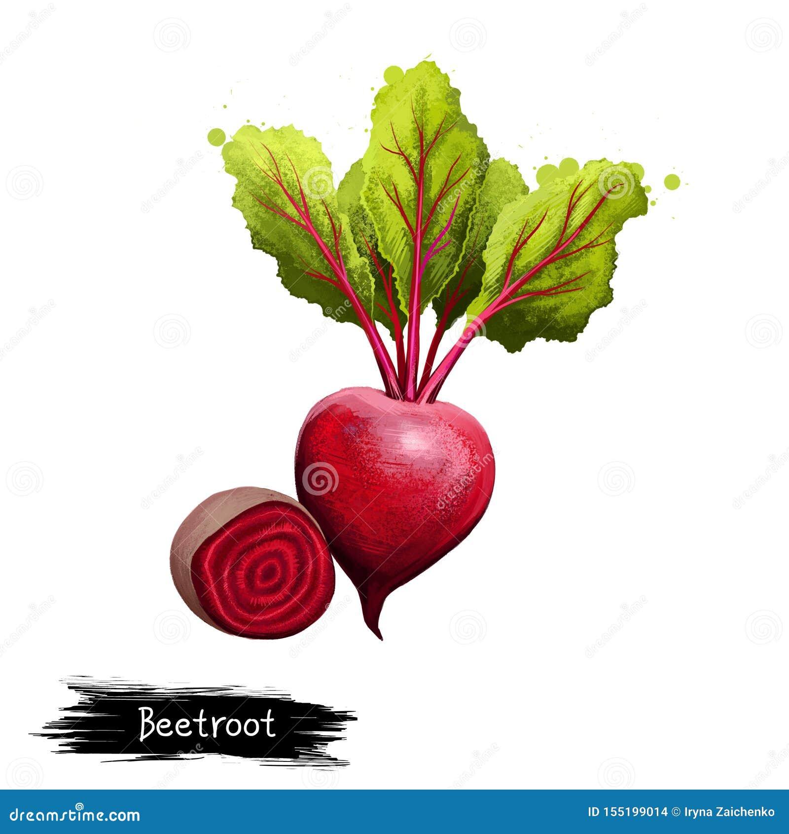 Ilustração de Digitas das beterrabas tiradas mão, beta vulgar isoladas no fundo branco Alimento saud?vel org?nico Vegetal vermelh