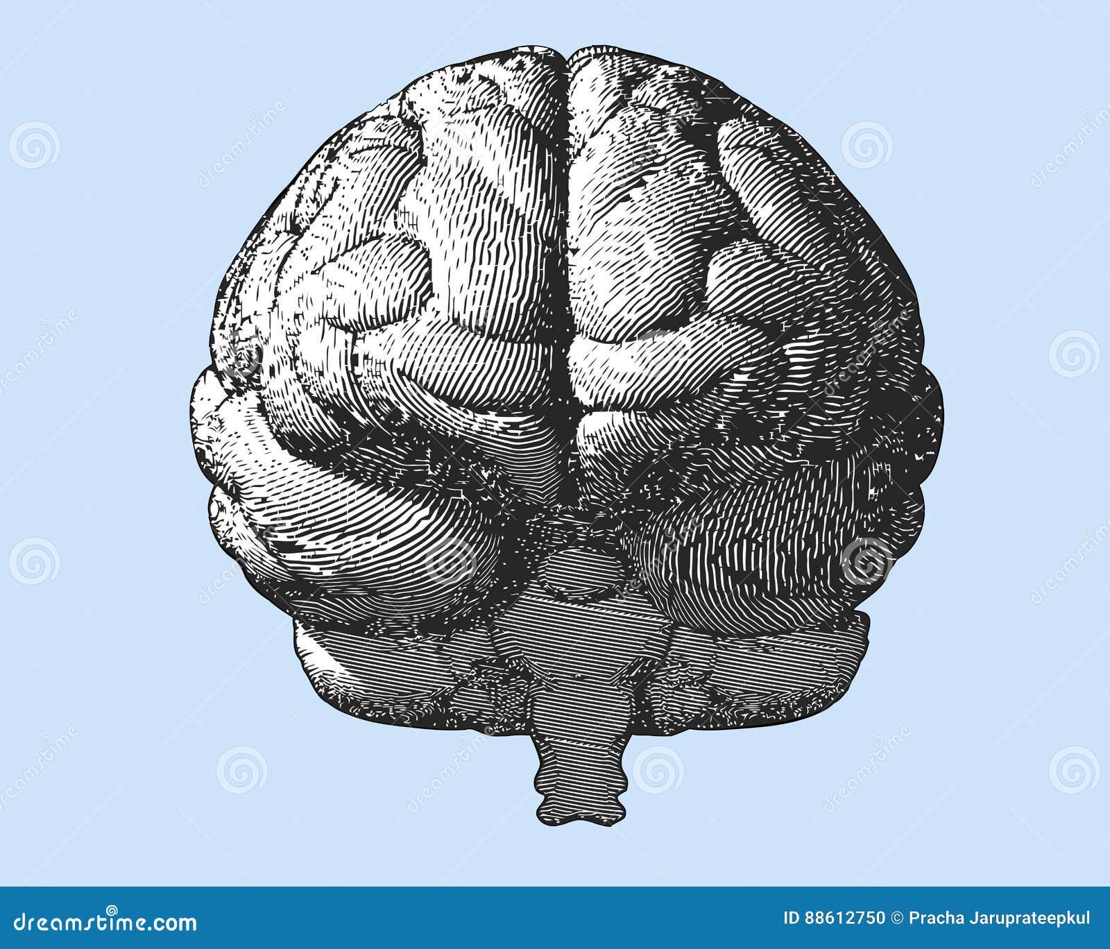 Ilustração do cérebro da gravura na vista dianteira na BG azul