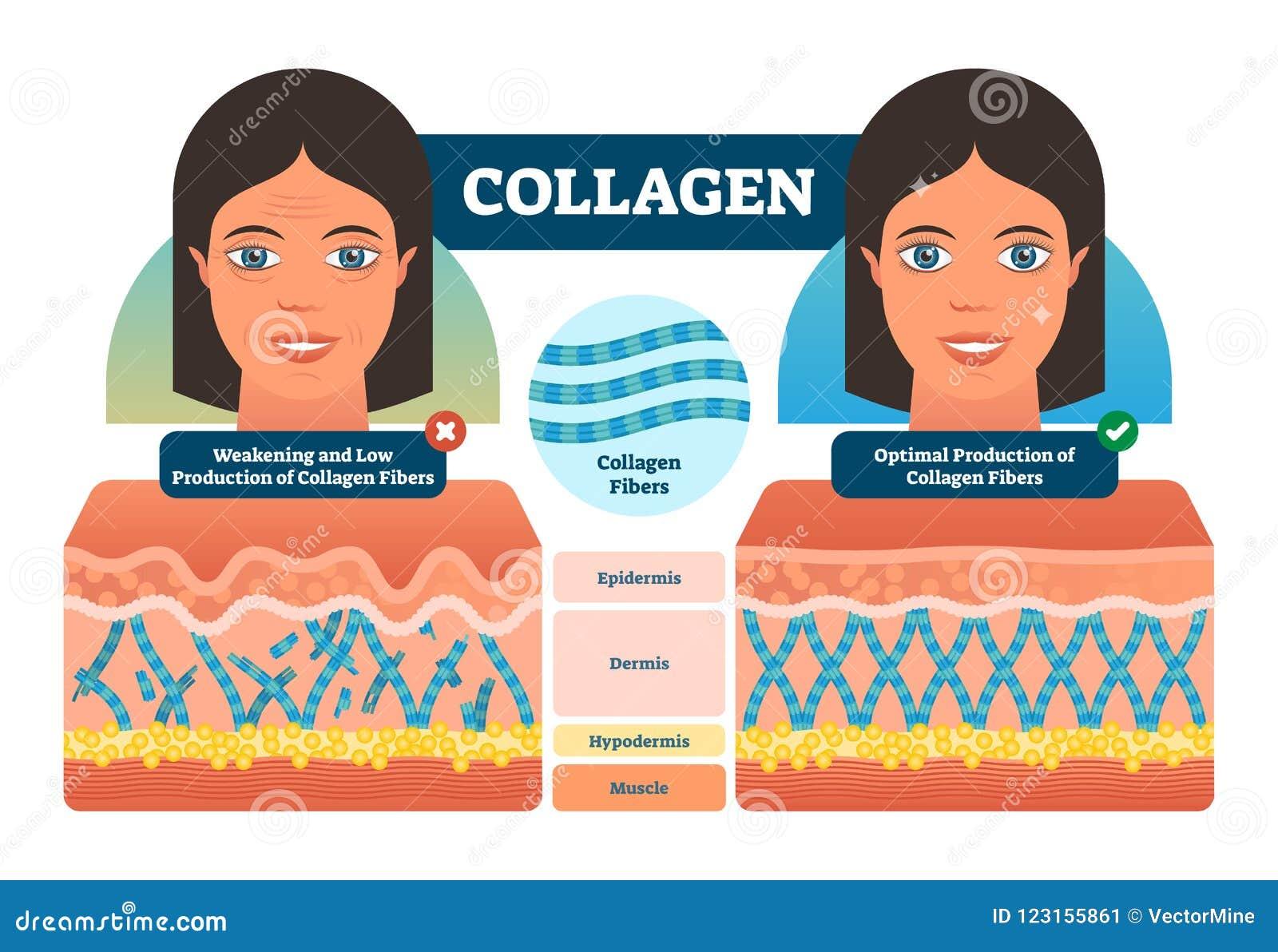 Ilustração do vetor do colagênio Esquema etiquetado médico e anatômico com fibras, epiderme, hypodermis e músculo Diagrama da ana