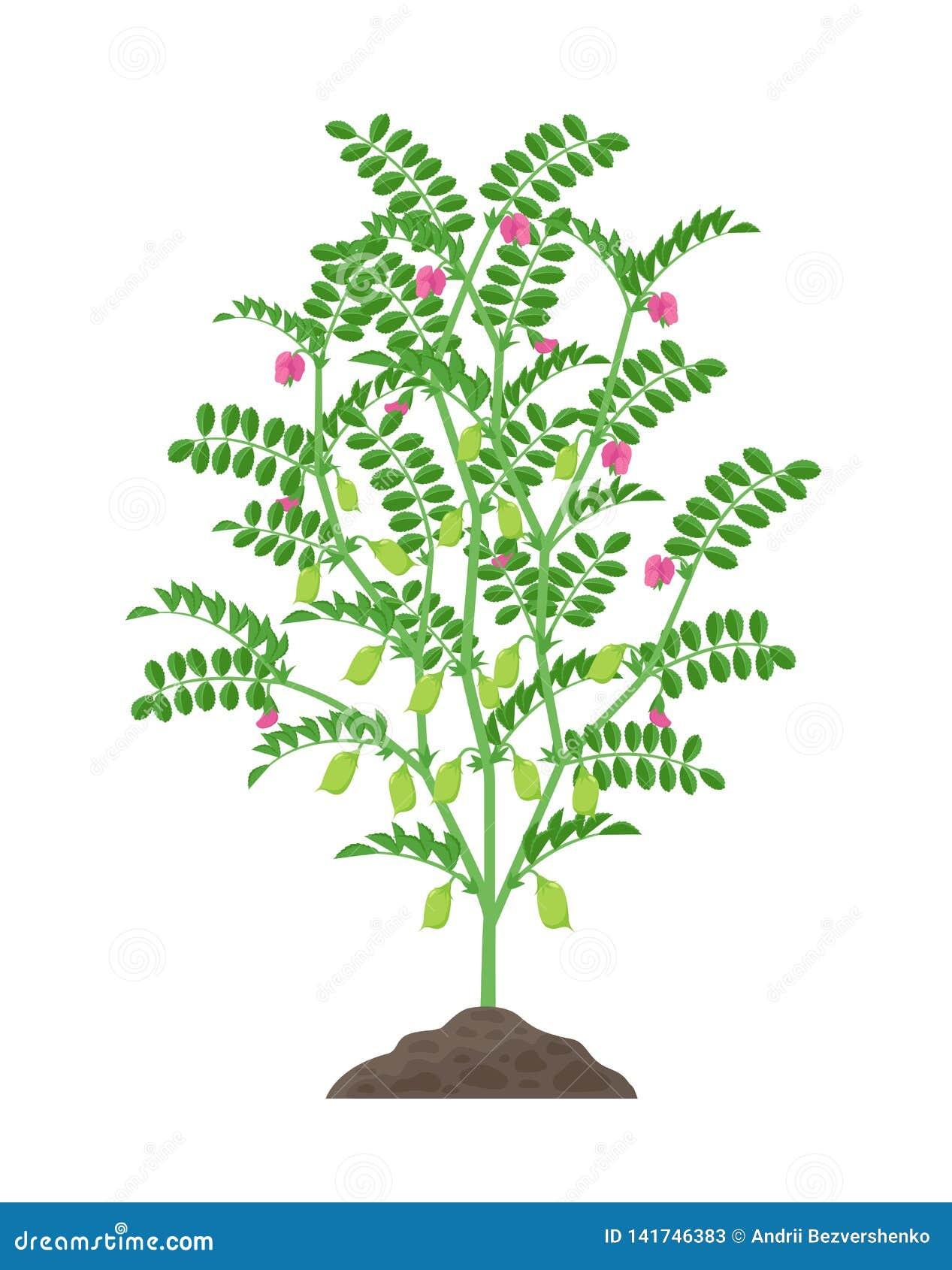 Ilustração do vetor da planta de grão-de-bico isolada no fundo branco Florescência do grão-de-bico e planta frutífero com verde