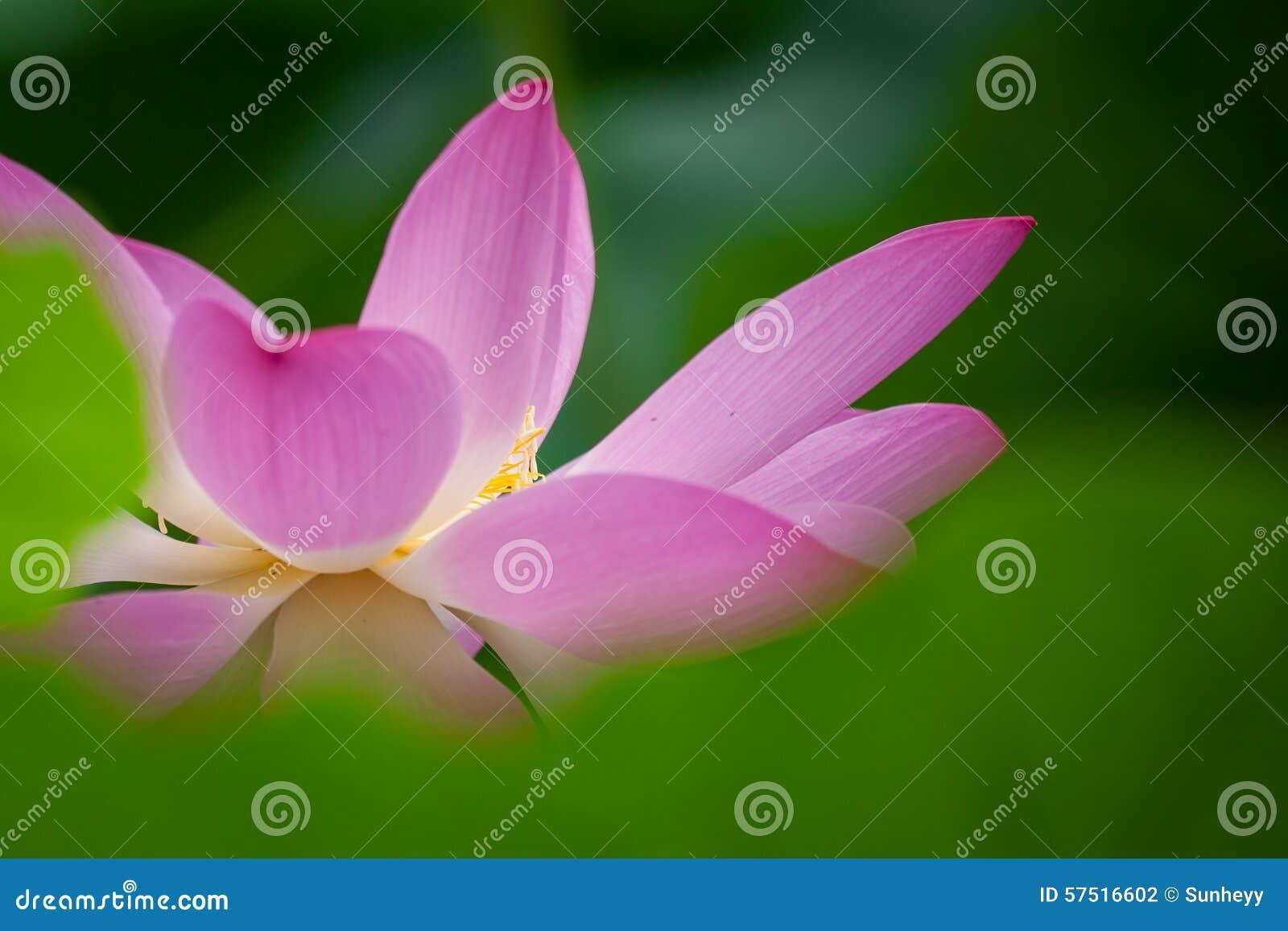 Ilustração do zen da flor dos lótus