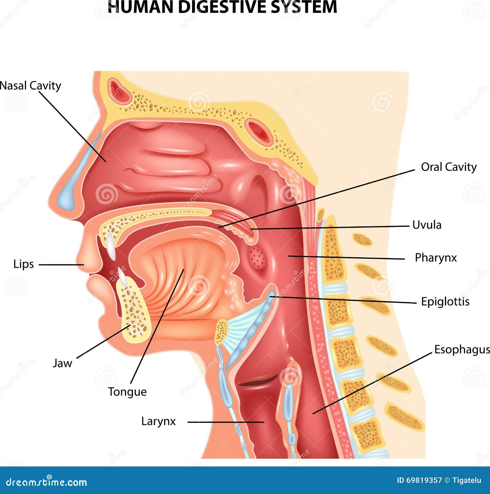 ilustração dos desenhos animados do sistema digestivo humano