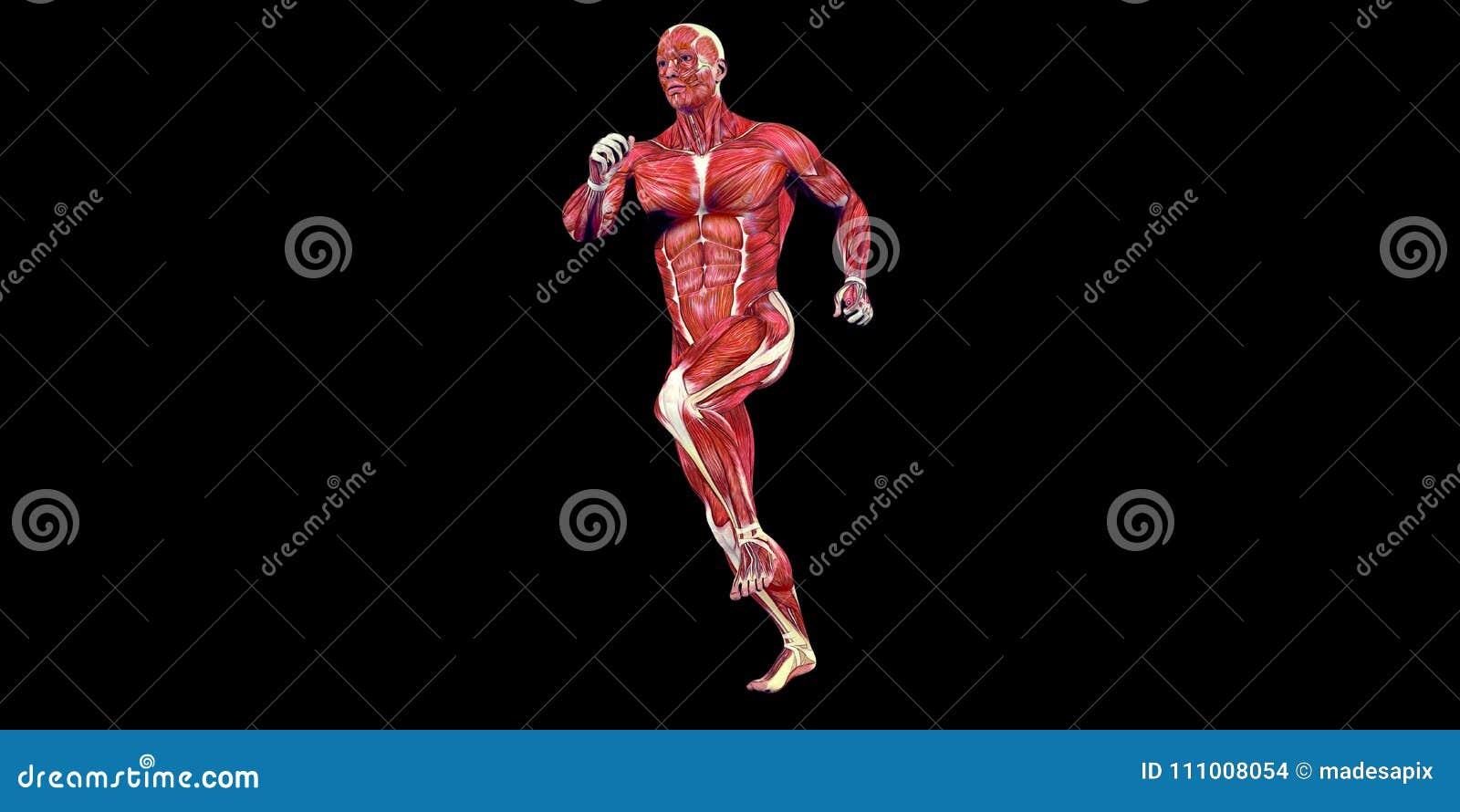 Ilustração humana da anatomia do corpo masculino da articulação do joelho humana com músculos visíveis