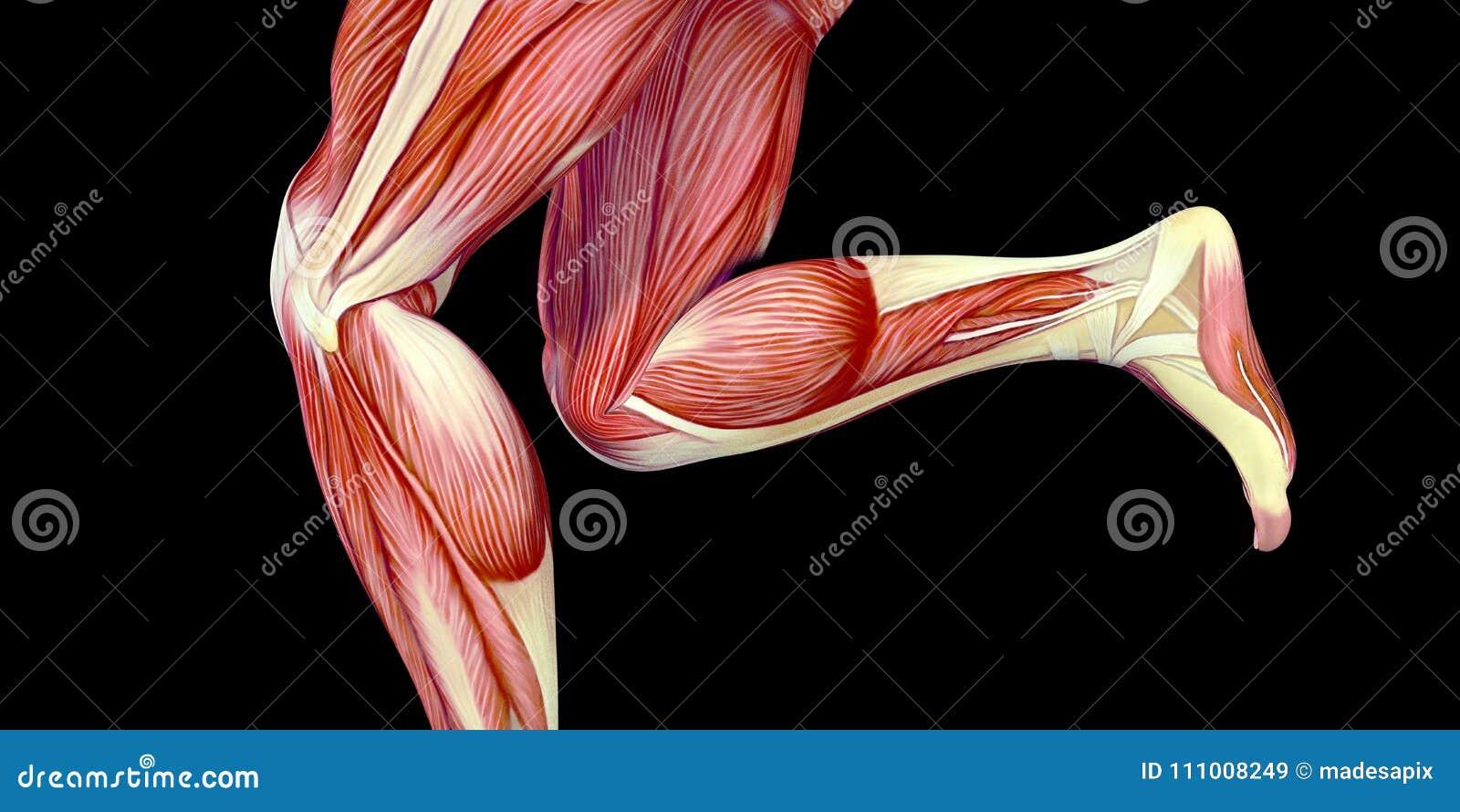 Ilustração humana da anatomia do corpo masculino com músculos visíveis