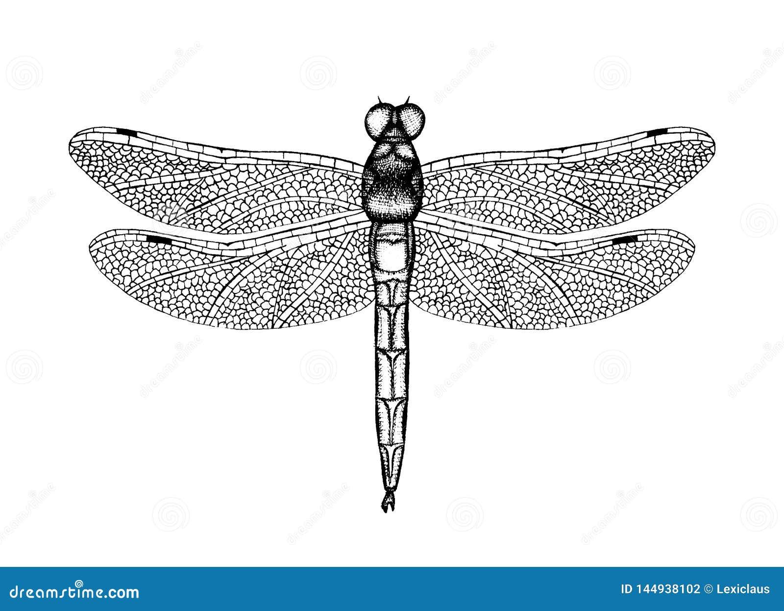 Ilustração preto e branco do vetor de uma libélula