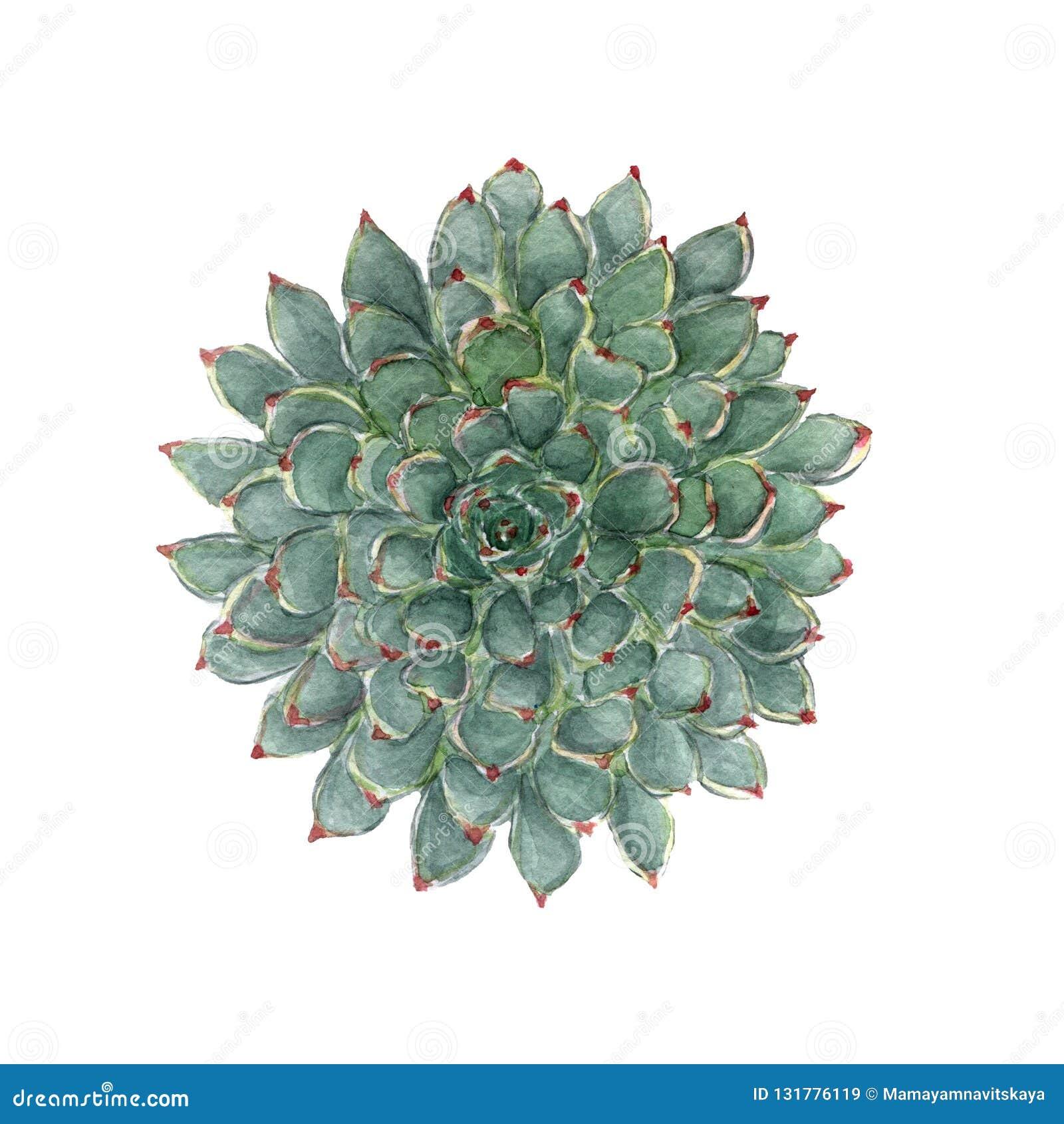Ilustração suculento da aquarela floral colorida Flor exótica bonita Pintura botânica Elemento floral tirado mão isolado
