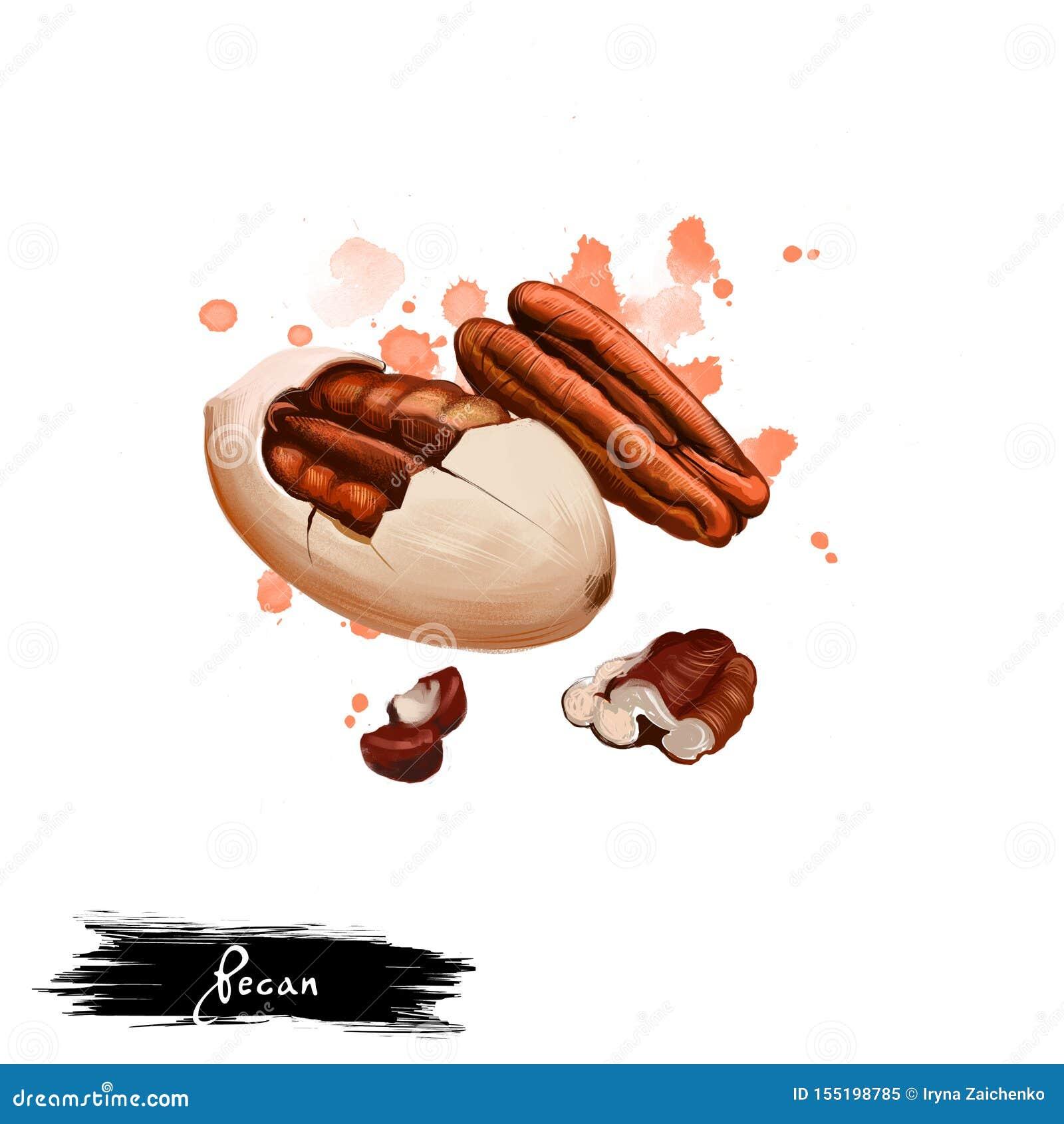Ilustração tirada mão da porca de noz-pecã ou do illinoinensis do Carya isolada no fundo branco Alimento saud?vel org?nico Arte d
