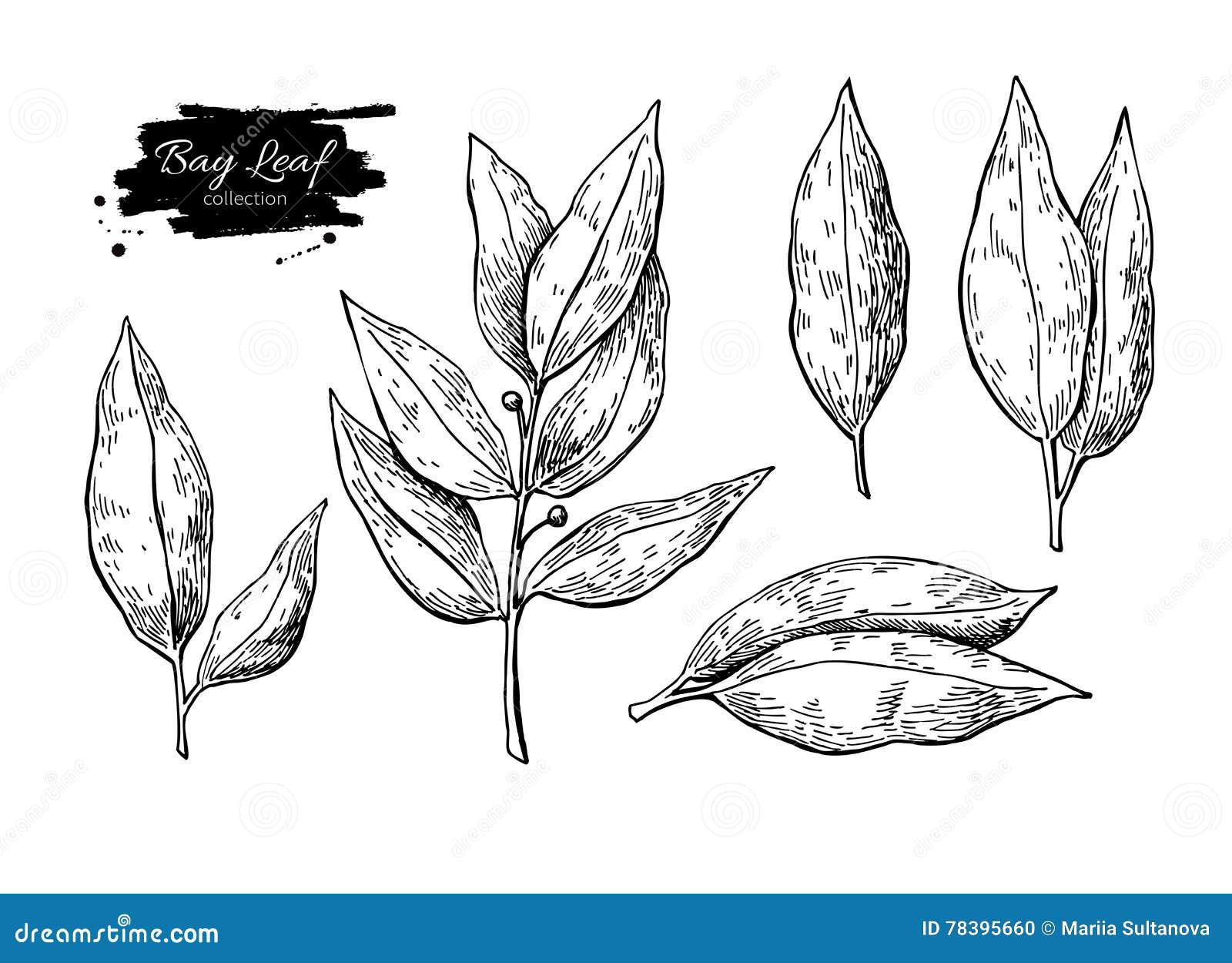 Ilustracao Tirada Mao Do Vetor Da Folha De Louro Objeto Isolado Da