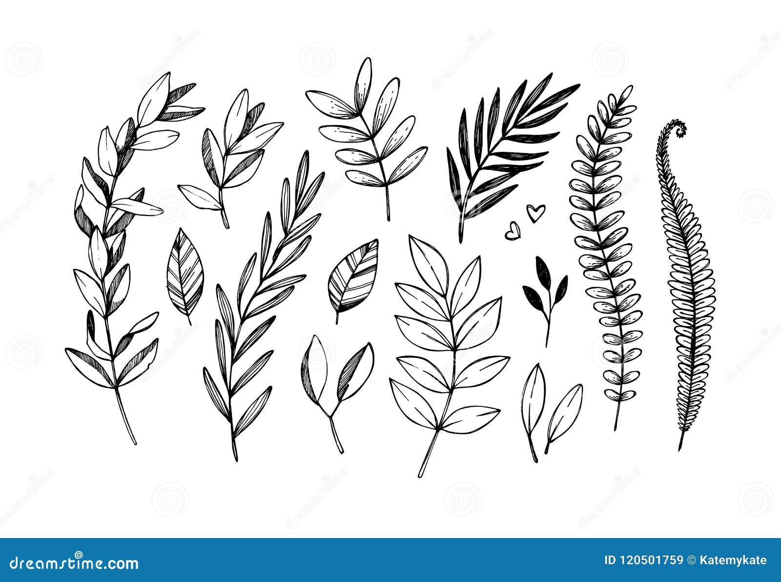 Ilustrações tiradas mão do vetor Ramos botânicos do eucalyptu