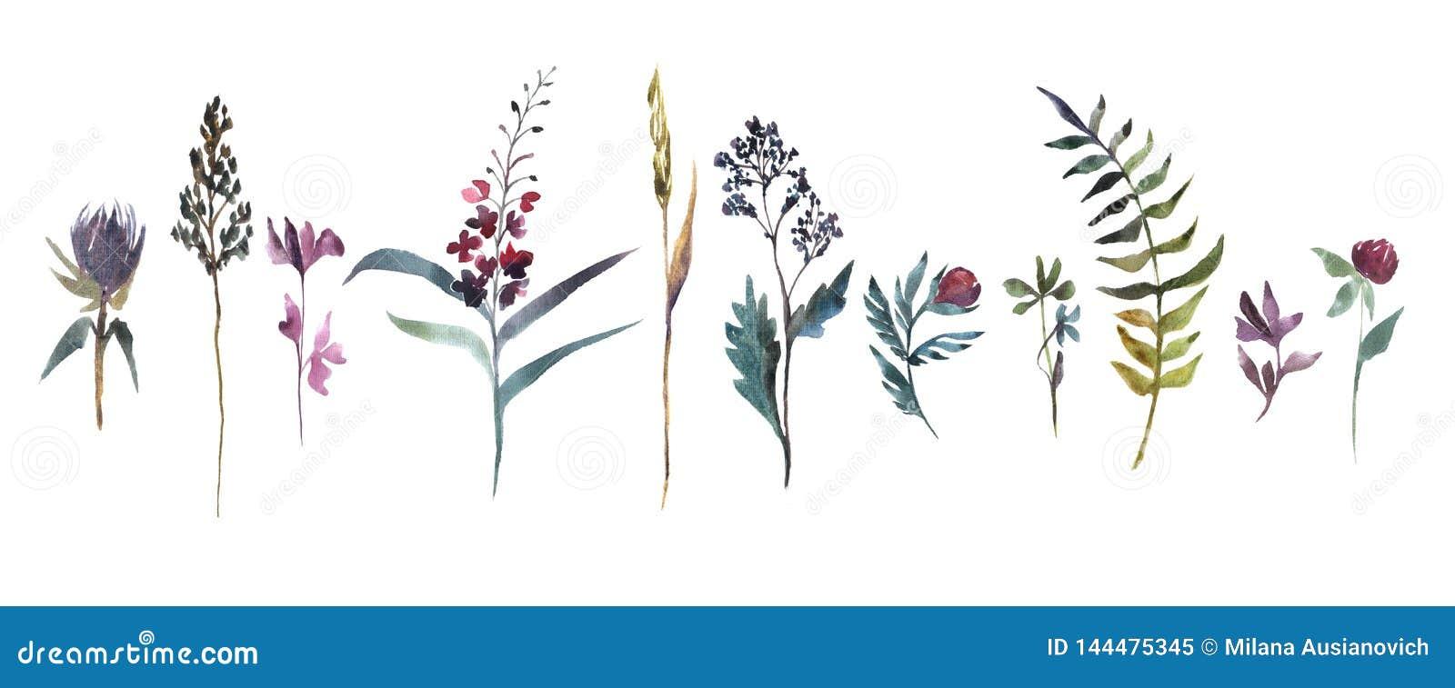 Ilustra??o da aguarela Coleção de flores do campo Grupo da aquarela das ervas