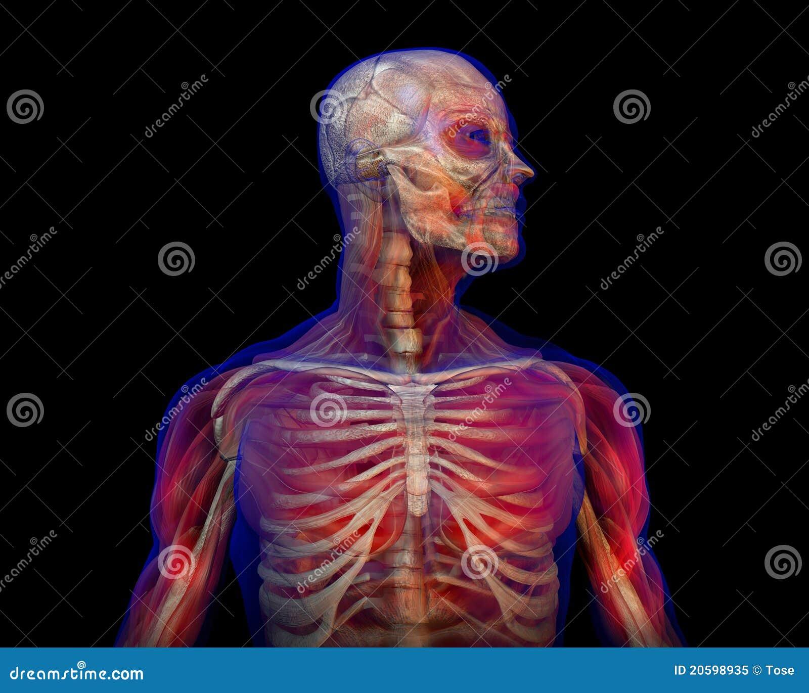 Ilustración De La Anatomía Humana Y Del Esqueleto Stock de ...