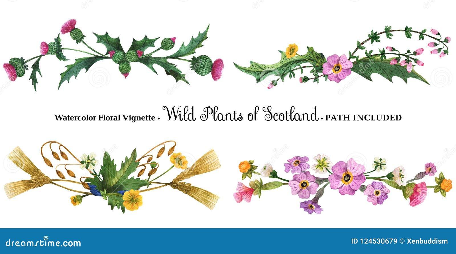 Ilustración de las plantas silvestres de Escocia