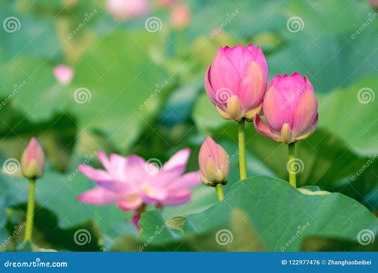 Ilustración Del Zen De La Flor De Loto Foto De Archivo Imagen De