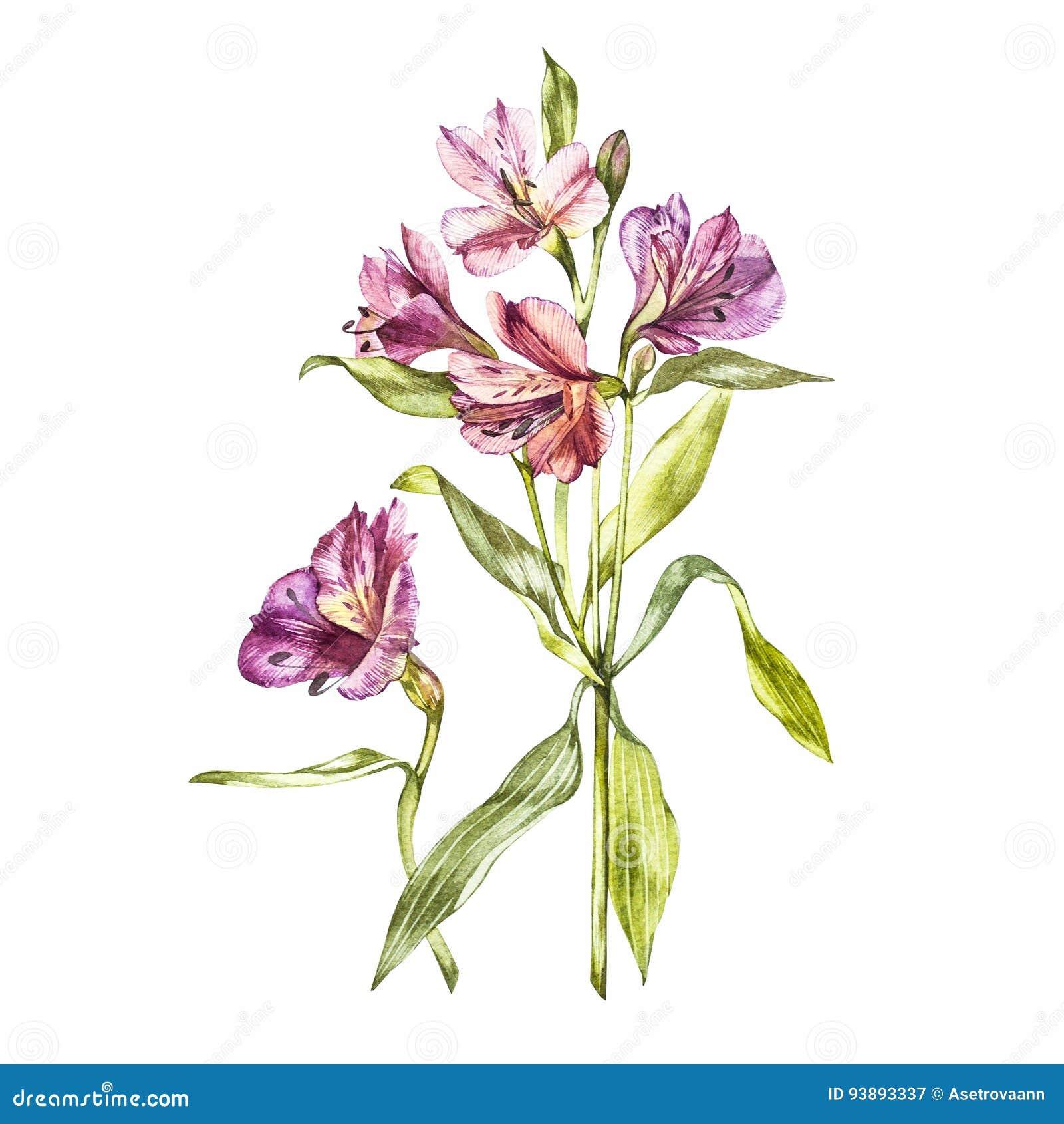 Ilustracja w akwareli Alstroemeria kwiatu okwitnięcie Kwiecista karta z kwiatami Botaniczna ilustracja