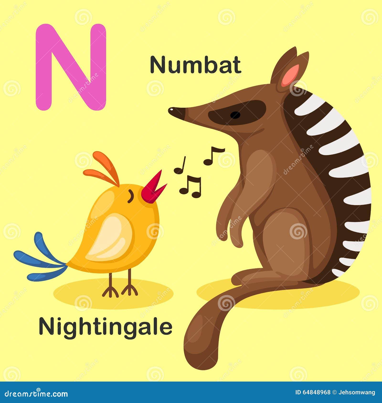 Ilustracyjny Odosobniony Zwierzęcy abecadło list N-Numbat, Nightingal