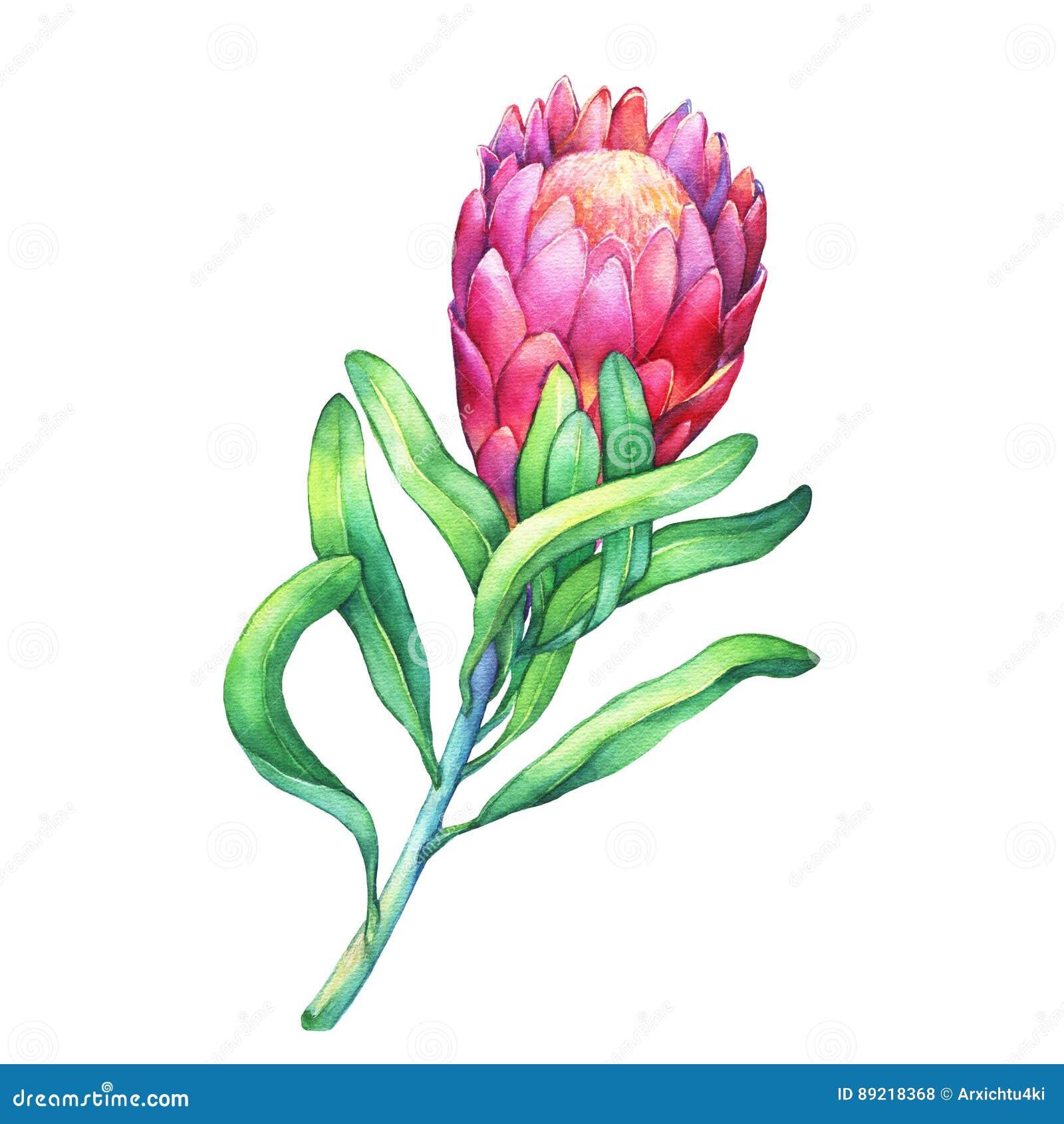 Ilustration de un Protea del rosa florece y las plantas tropicales
