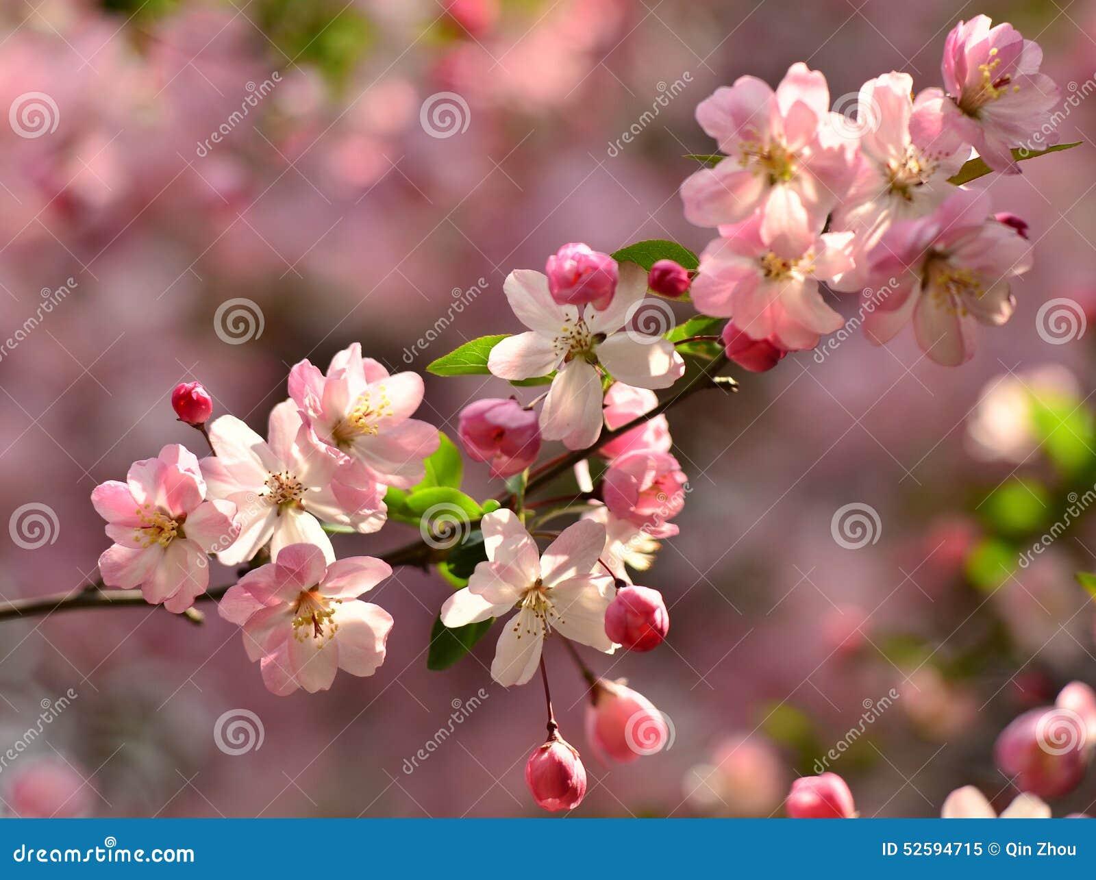 im m rz bl ht rosa begonie in voller bl te im park in. Black Bedroom Furniture Sets. Home Design Ideas