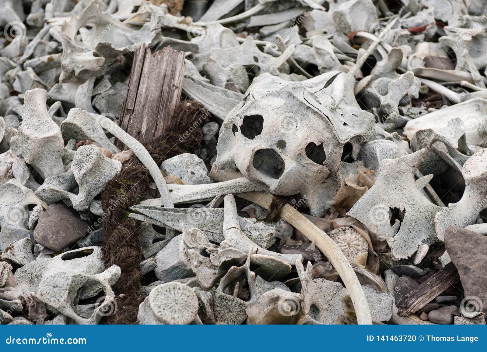 Im remenbrance der Zeiten des Walfangs - Knochen von Belugawales