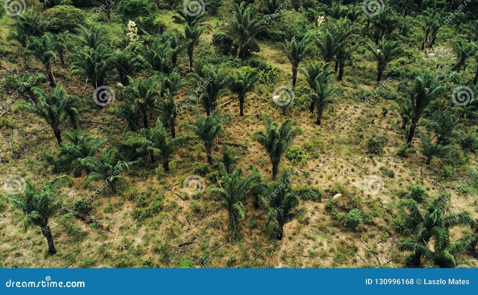 Image aérienne de bourdon d une plantation de palmier à huile comme raison du déboisement de la forêt tropicale avec des vaches à