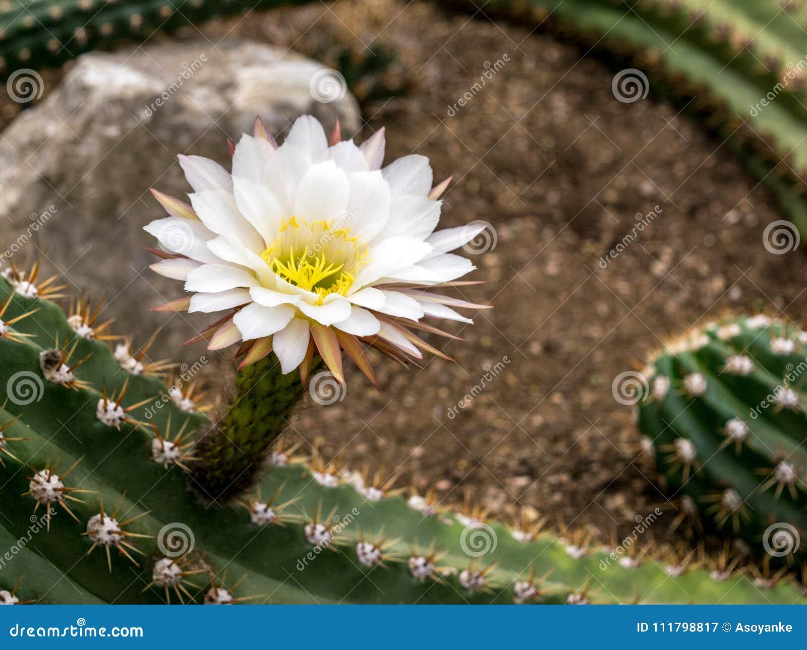 Image Of Beautiful Cactus Flowers Shot At Royal Botanic Gardens