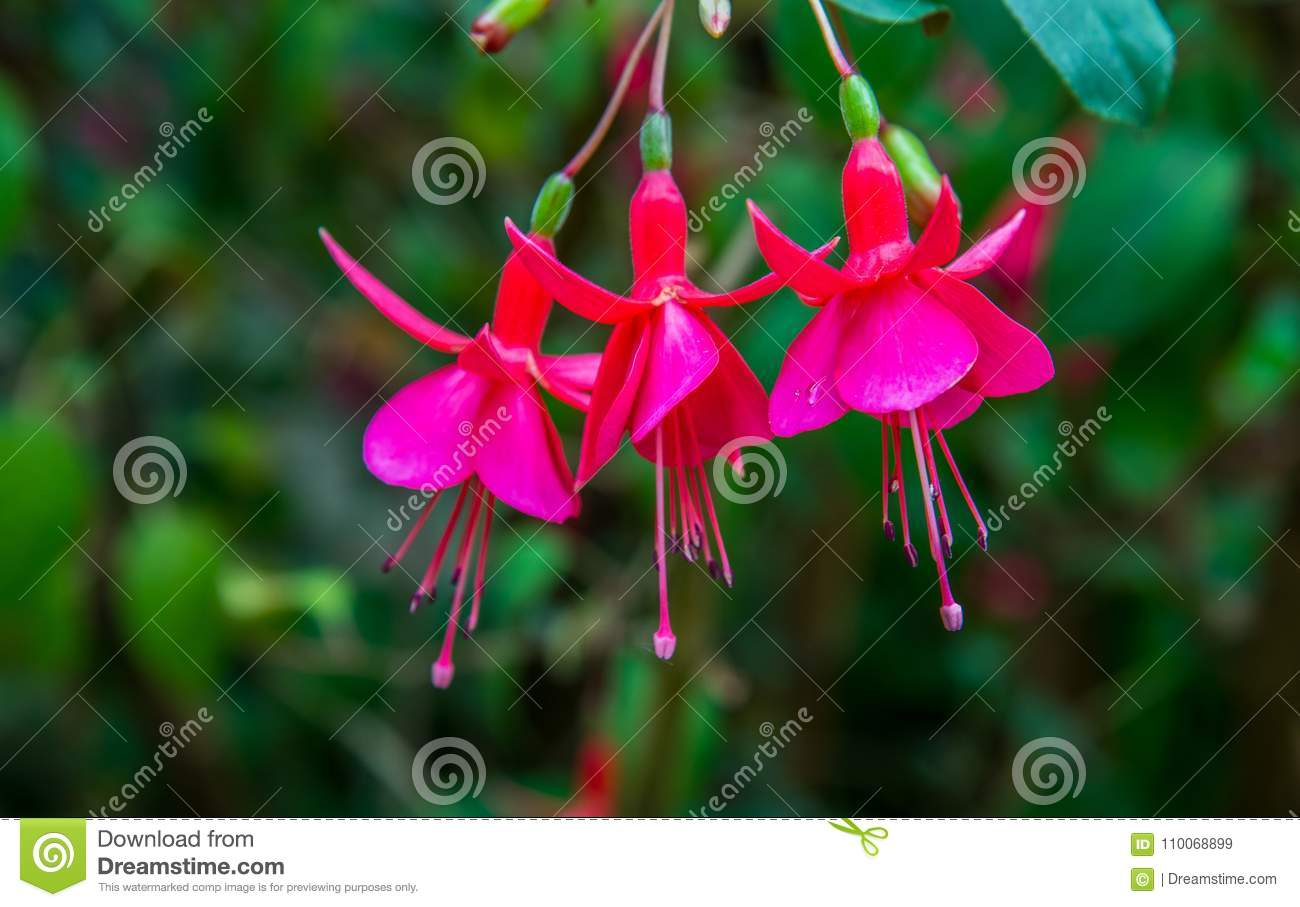 Image of a beautiful pink fuchsia magellanica flowers on green stock download image of a beautiful pink fuchsia magellanica flowers on green stock image image of mightylinksfo