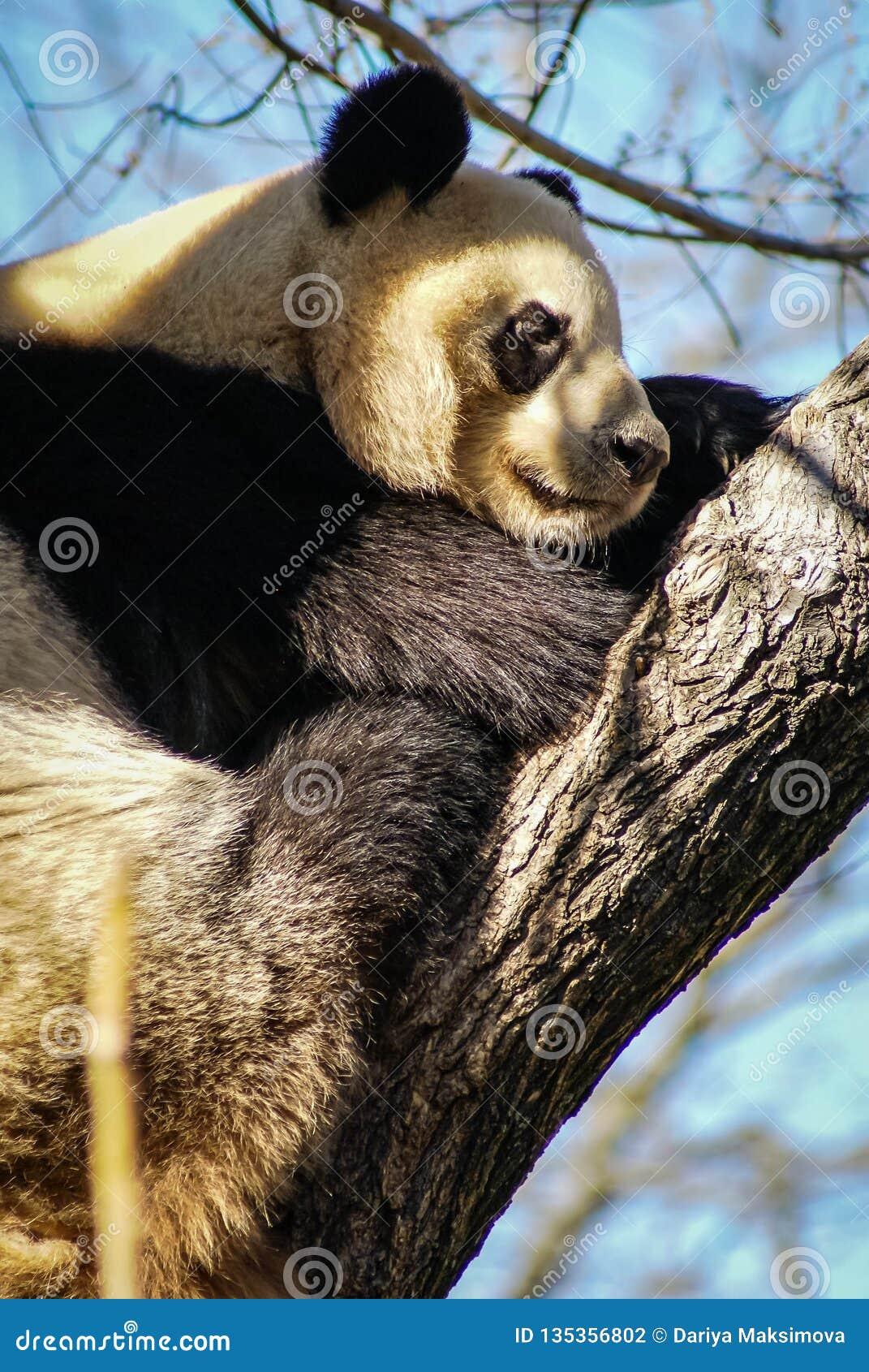 Big black and white panda bear sitting on a tree