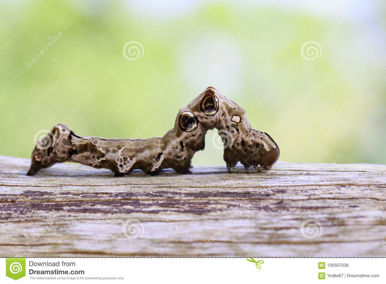 Image of brown caterpillar on brown dry timber. Insect. Animal
