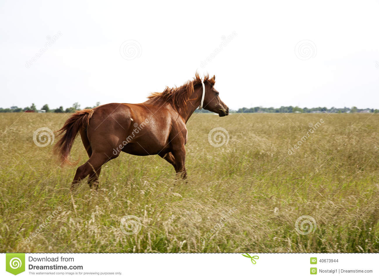 Image Of A Brown Throughbred Horse Mare Running Field