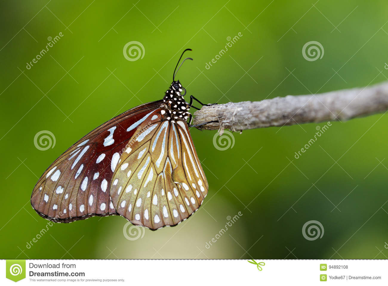 Image of a butterfly The Pale Blue Tiger on nature background.