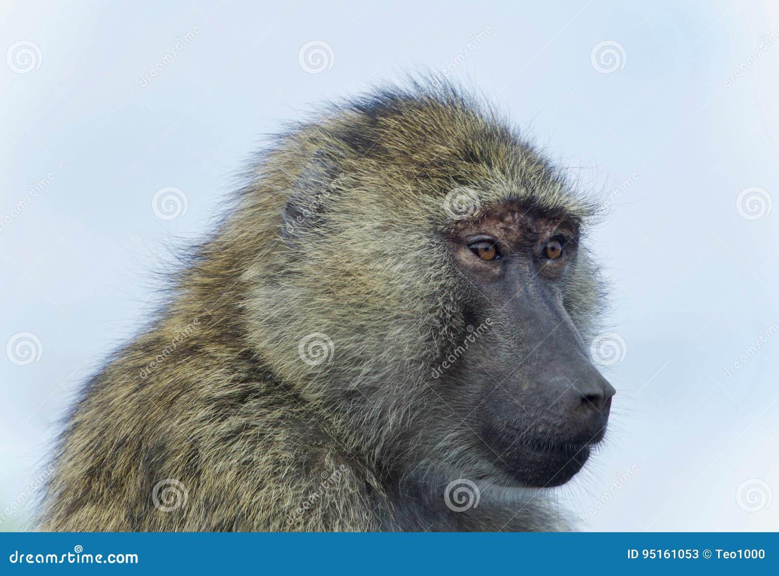 Image d isolement d un babouin drôle regardant de côté