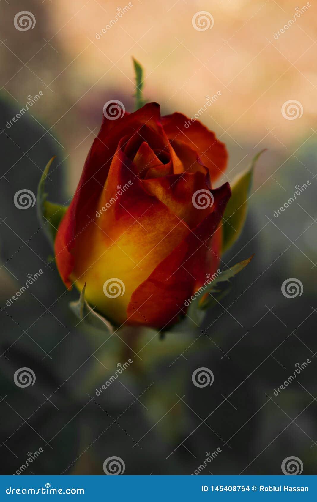 Image de fleur, image de Rose Flower, image de fleur de HD