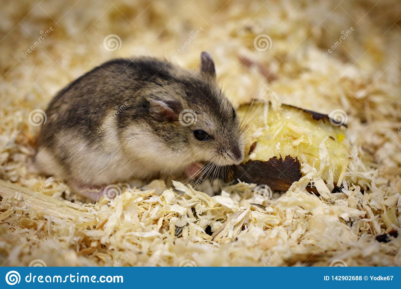Alimentation Hamster image de hamster mangeant de la nourriture pet animaux photo