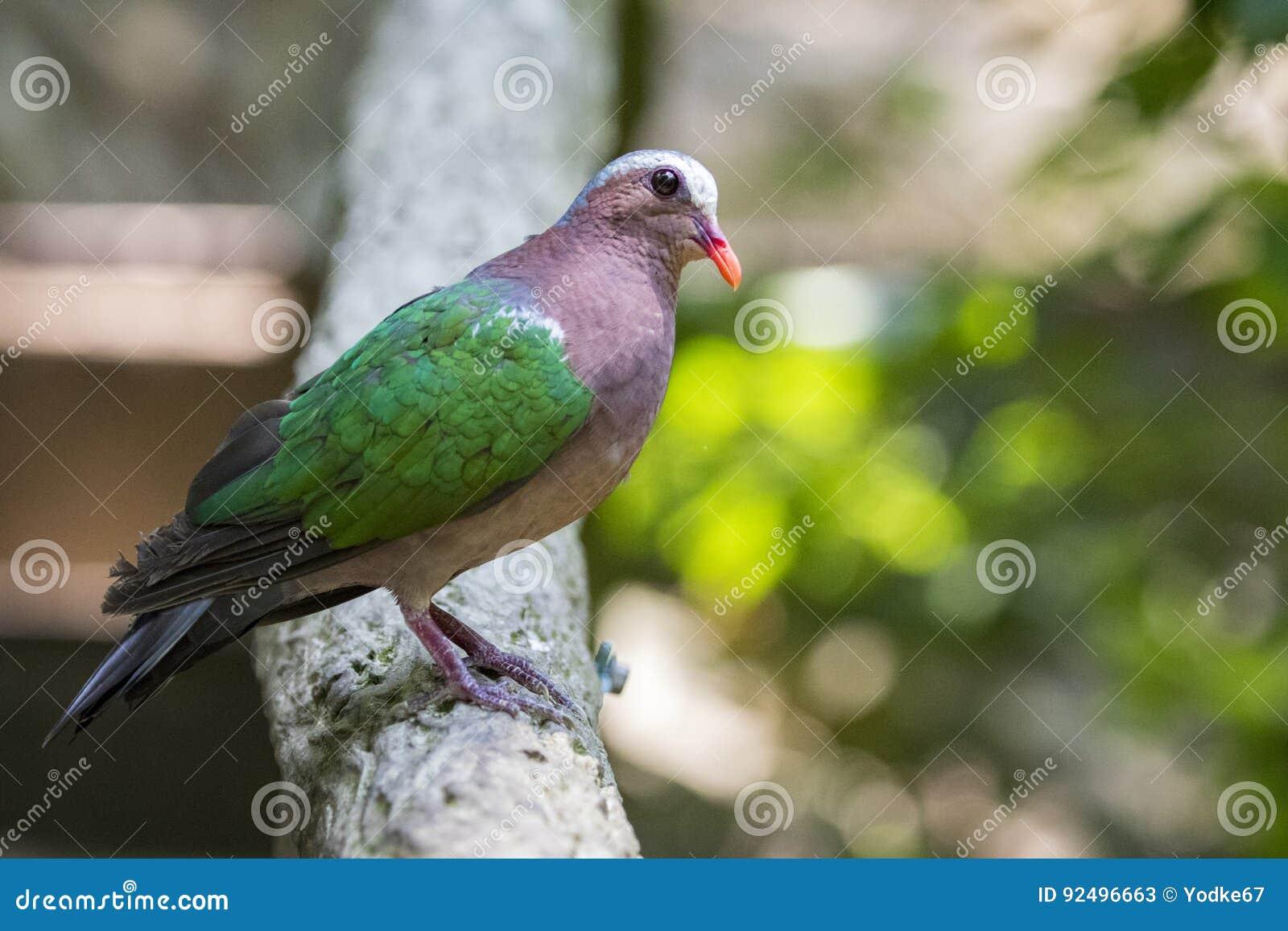 Image de l 39 oiseau emerald dove commun sur le fond de for Oiseau commun