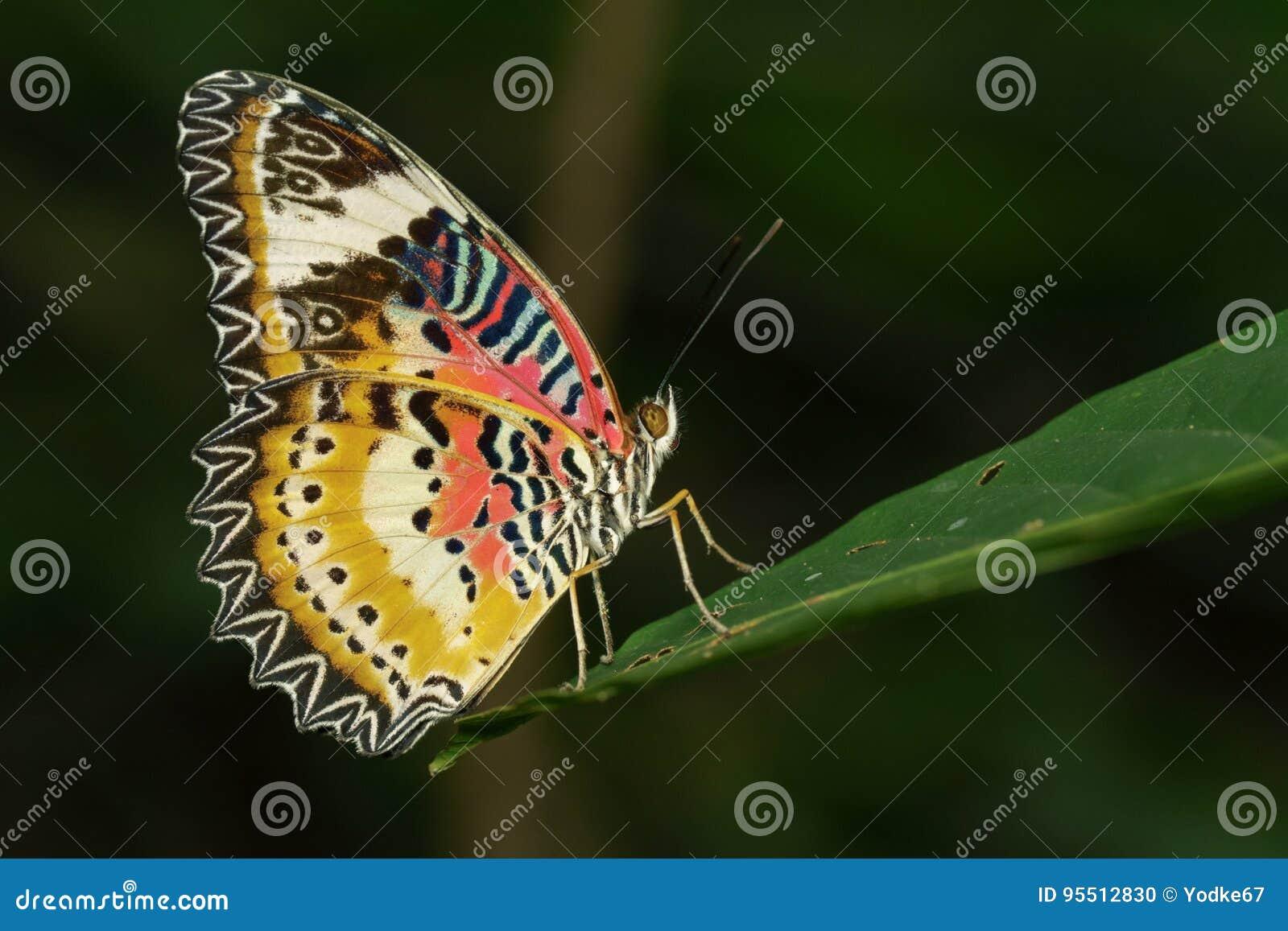 Image de Tiger Butterfly simple sur les feuilles vertes Animal d insecte