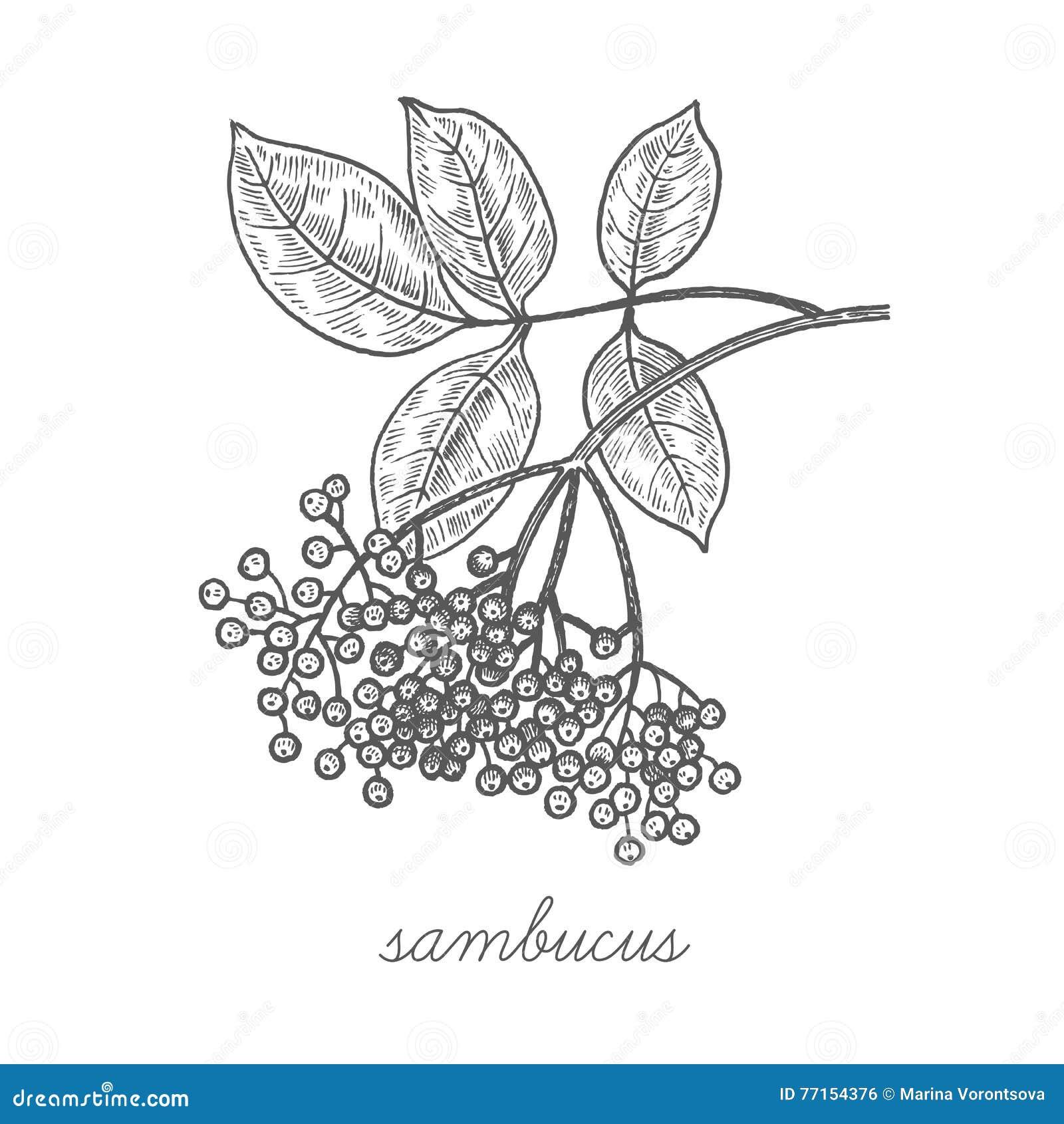 Image de vecteur des plantes médicinales