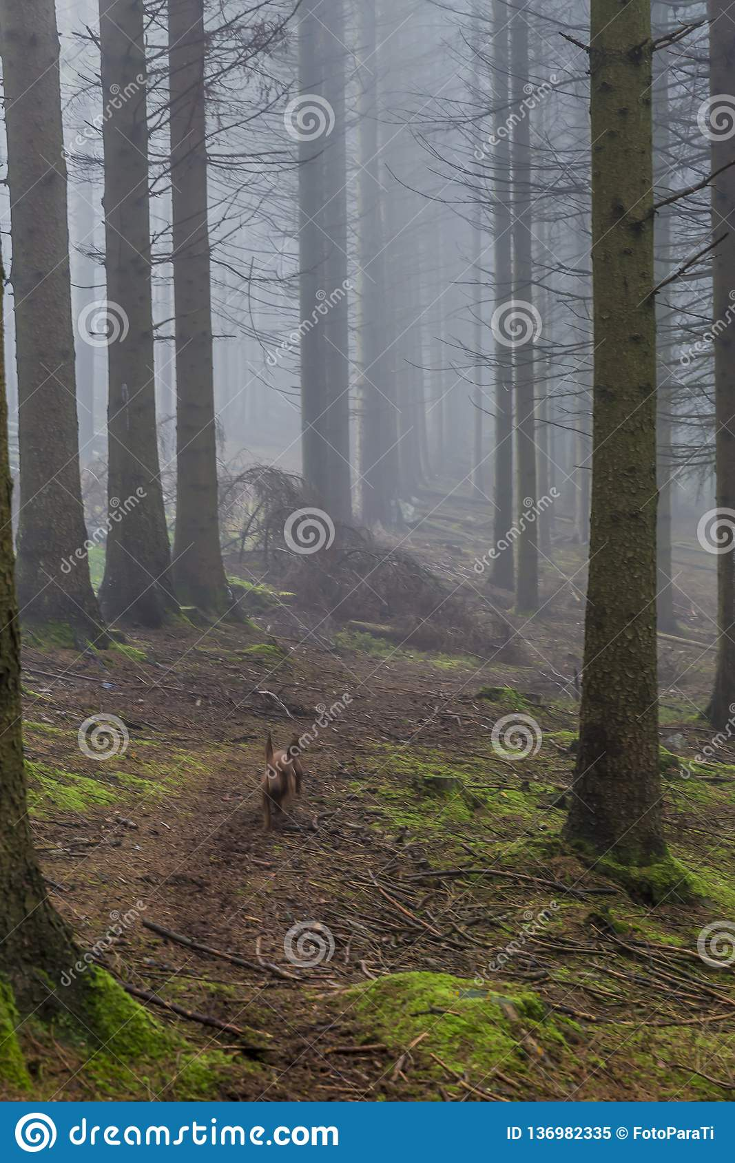 Image of a dog running among the tall pine trees in the forest