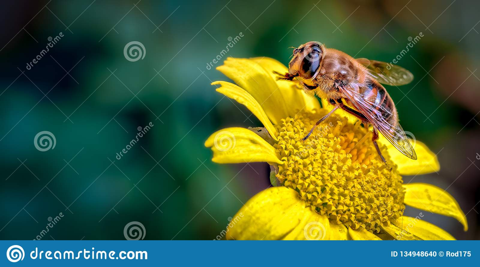 Drone-Fly, Eristalis tenax a bee mimic on Daisy Like Flower Cleaning its Front Legs