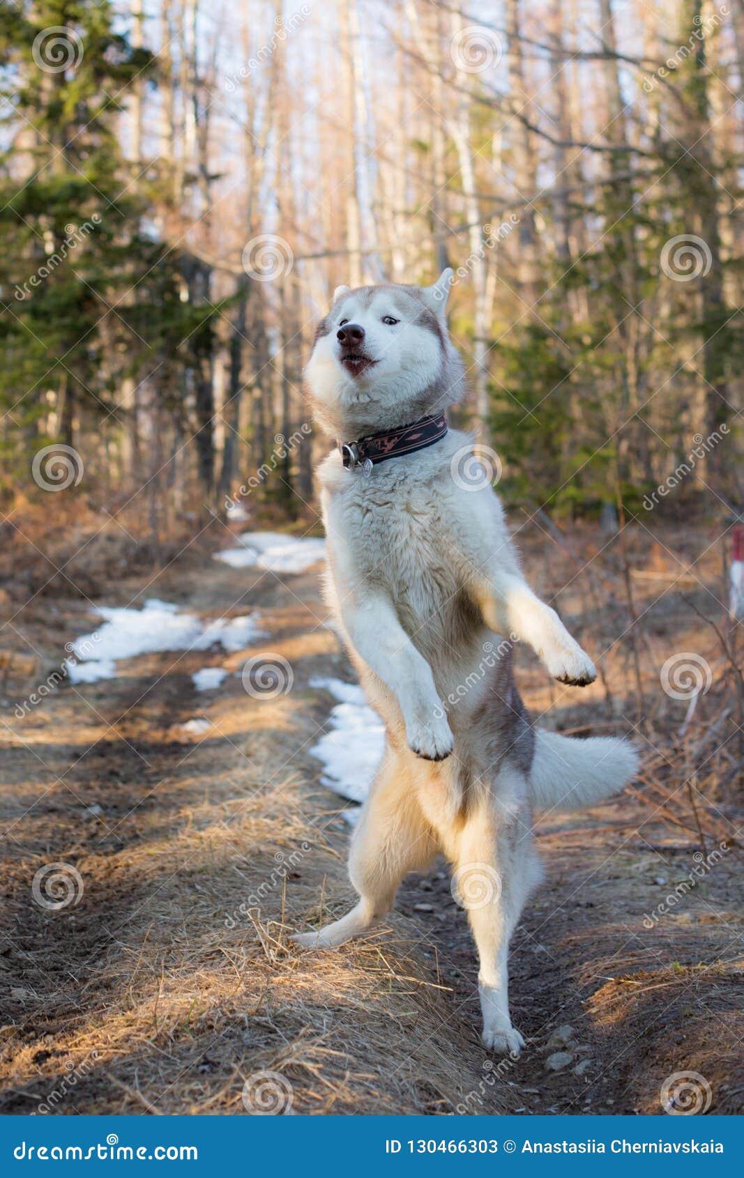 Image du chiot enroué sibérien drôle sautant dans la forêt au coucher du soleil Le portrait du chien enroué mignon ressemble au D