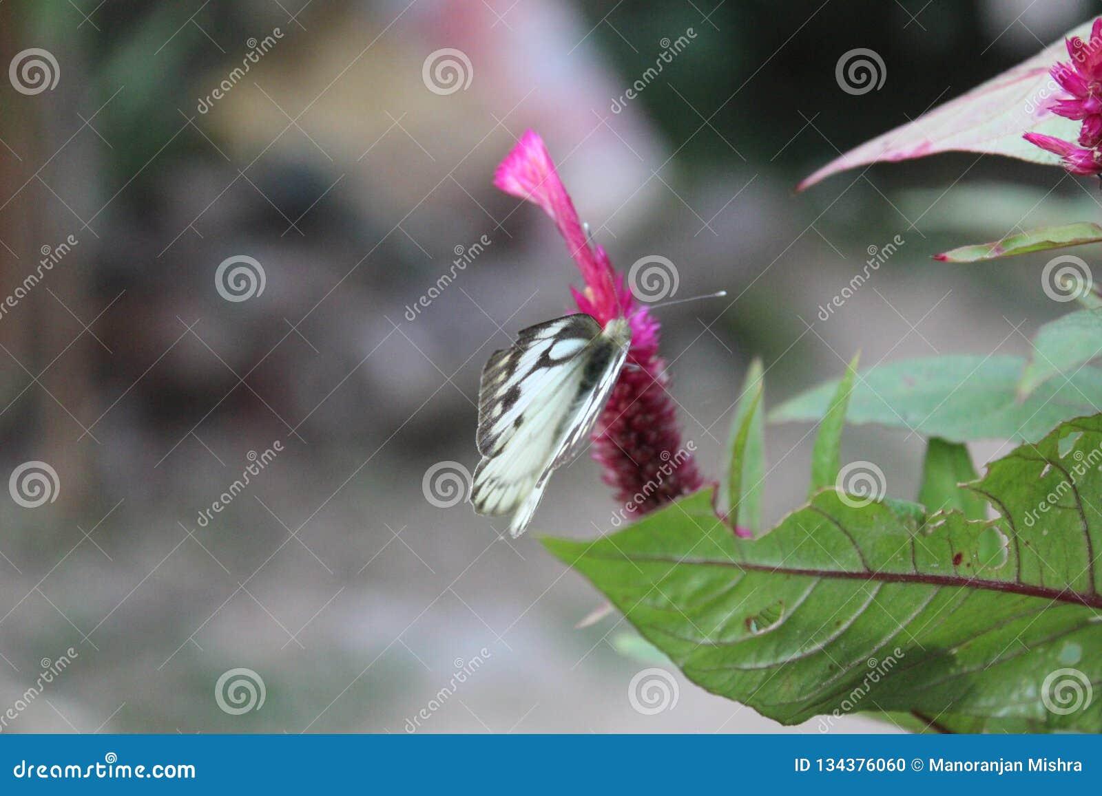 Image en gros plan du papillon blanc pionnier dépouillé de câpre blanche ou indienne se reposant sur les woolflowers de couleur o