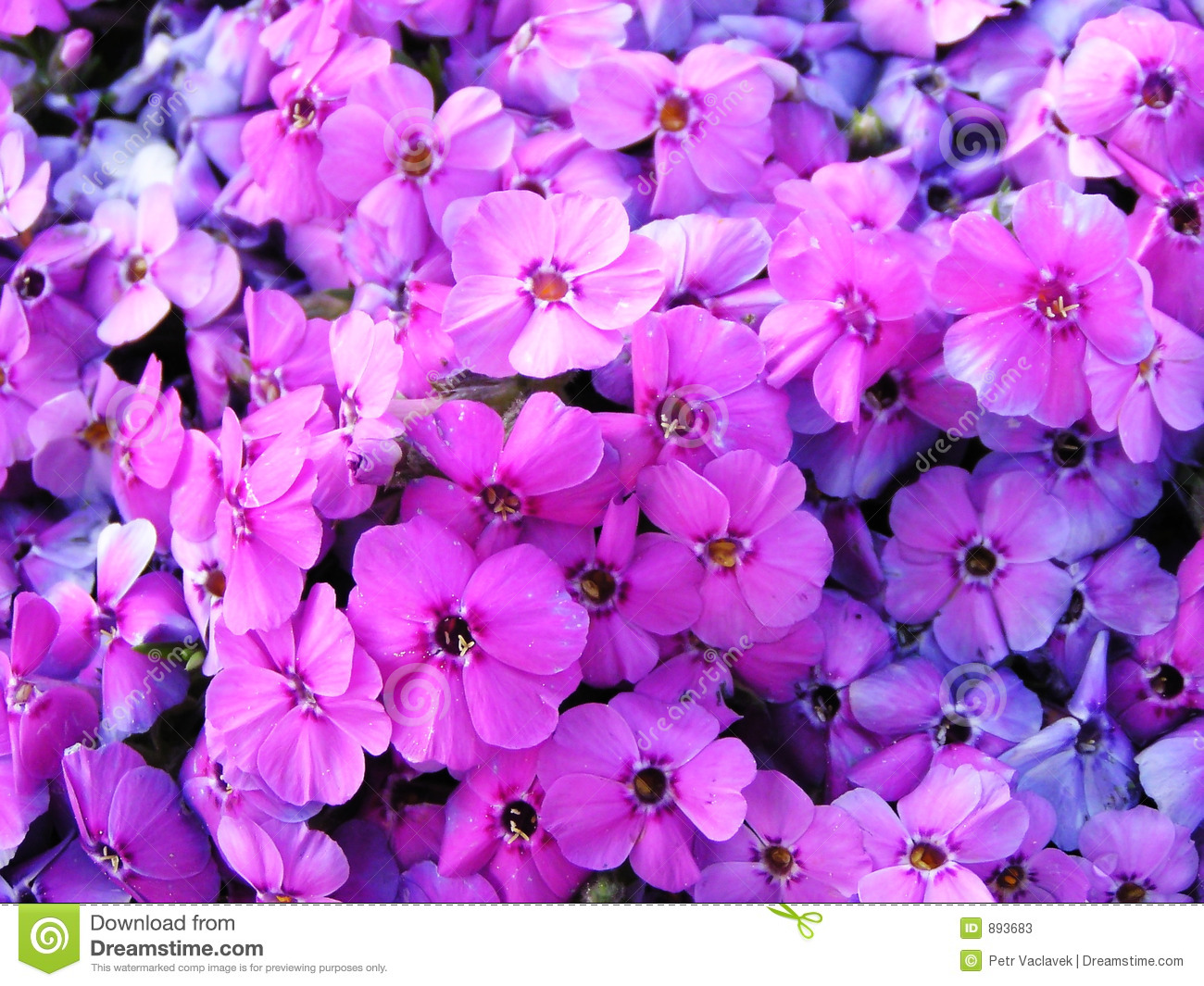 Image Full Of Violet Flowers Stock Image - Image of ...