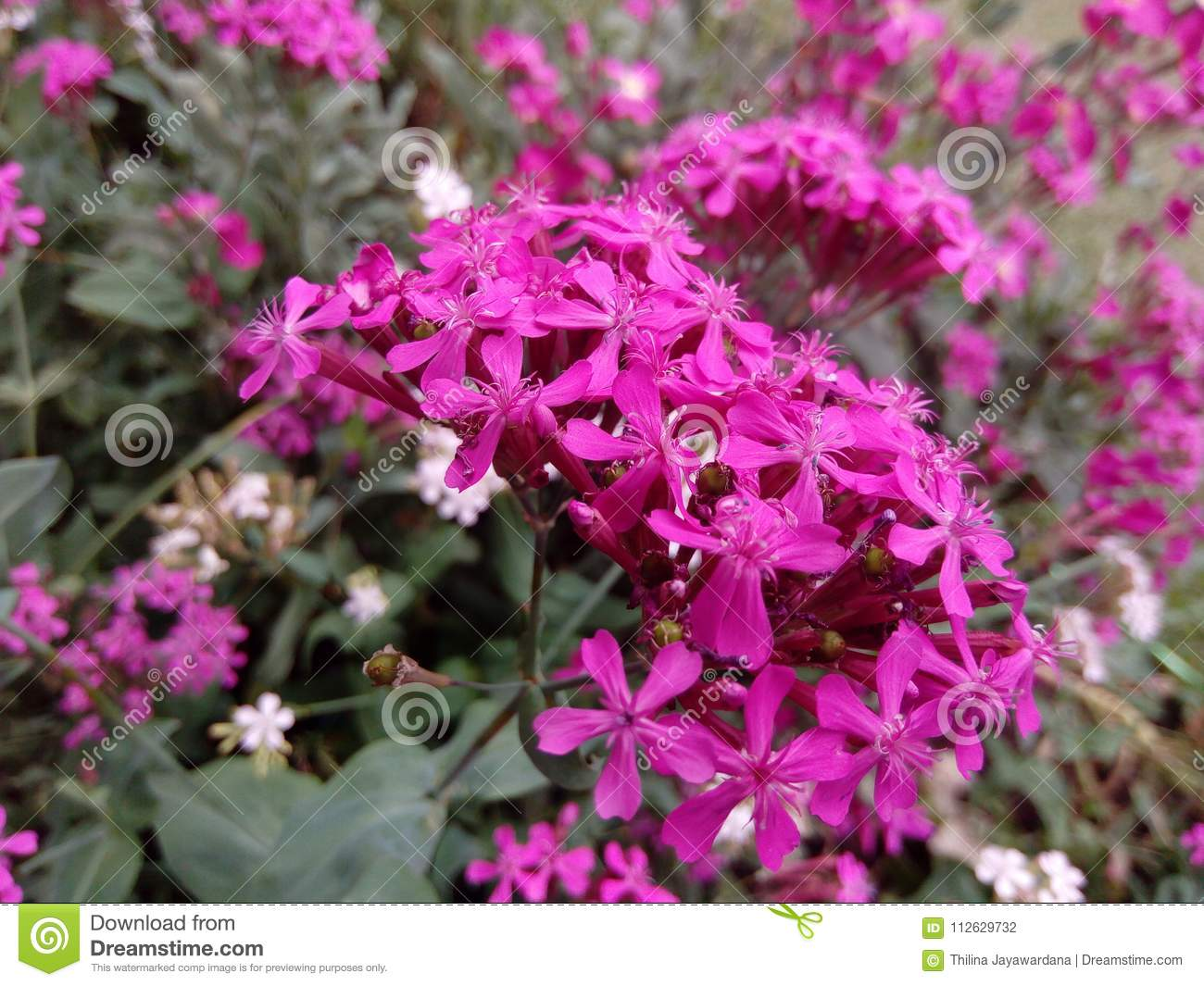 Natural Garden Pinks Flowers Of Srilanka Stock Photo Image Of