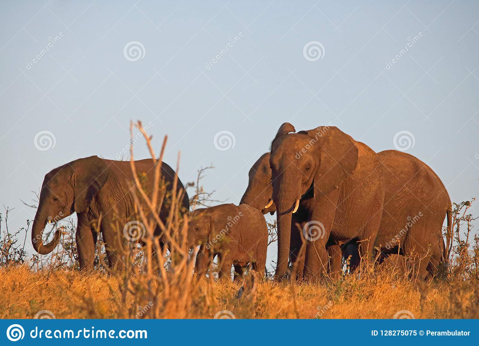 A HERD OF AFRICAN ELEPHANT ON A RIDGE IN THE LATE AFTERNOON SUN