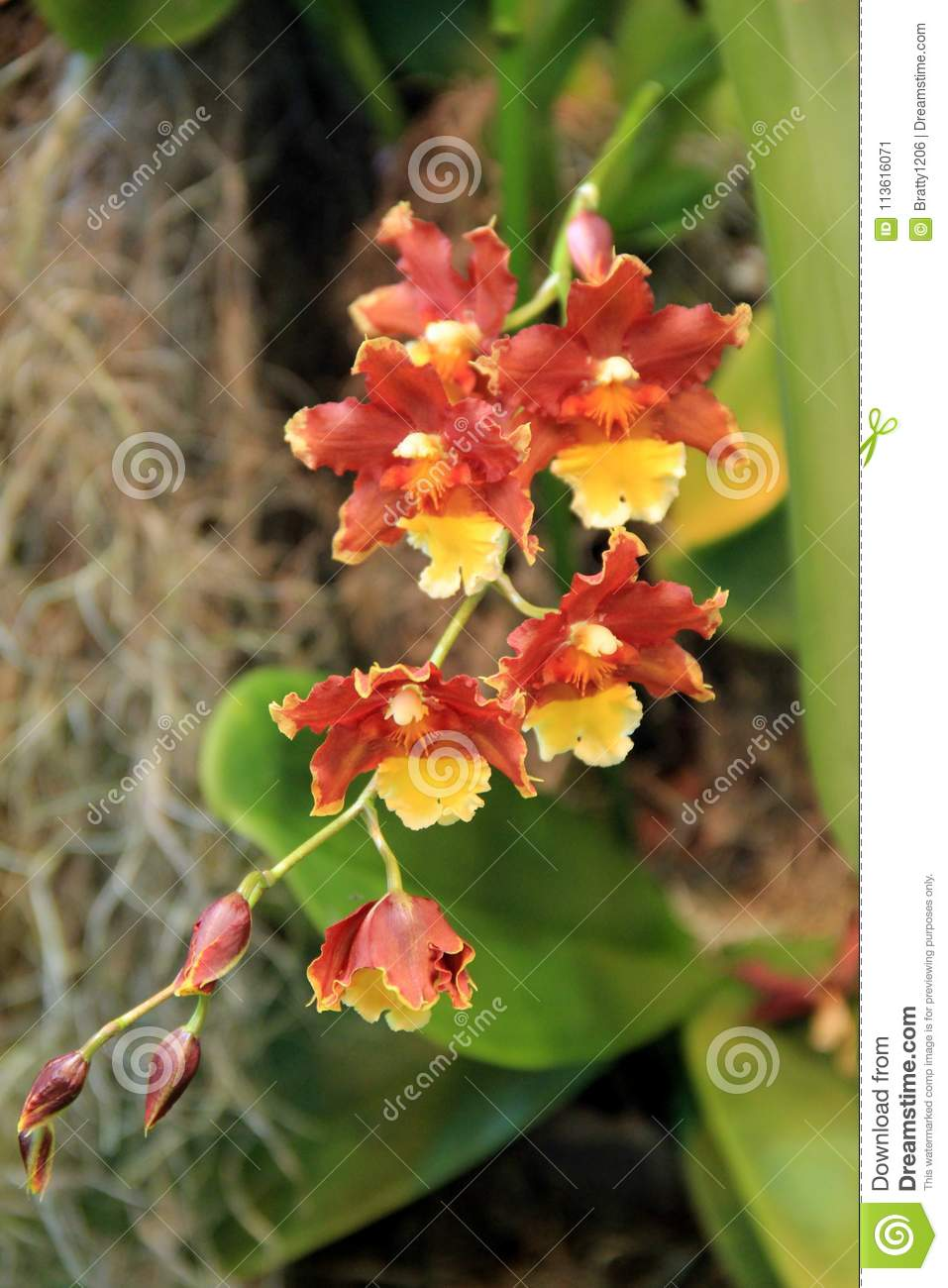 Beautiful exotic flowers hanging in tropical garden stock image download beautiful exotic flowers hanging in tropical garden stock image image of colorful species izmirmasajfo