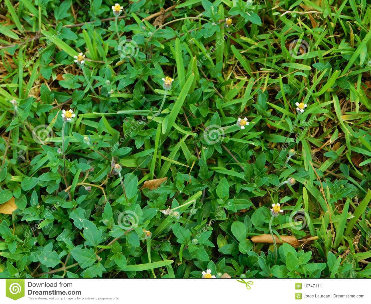 Lawn texture with flowers stock image image of plant 107471111 image of a lawn texture with little yellow flowers mightylinksfo