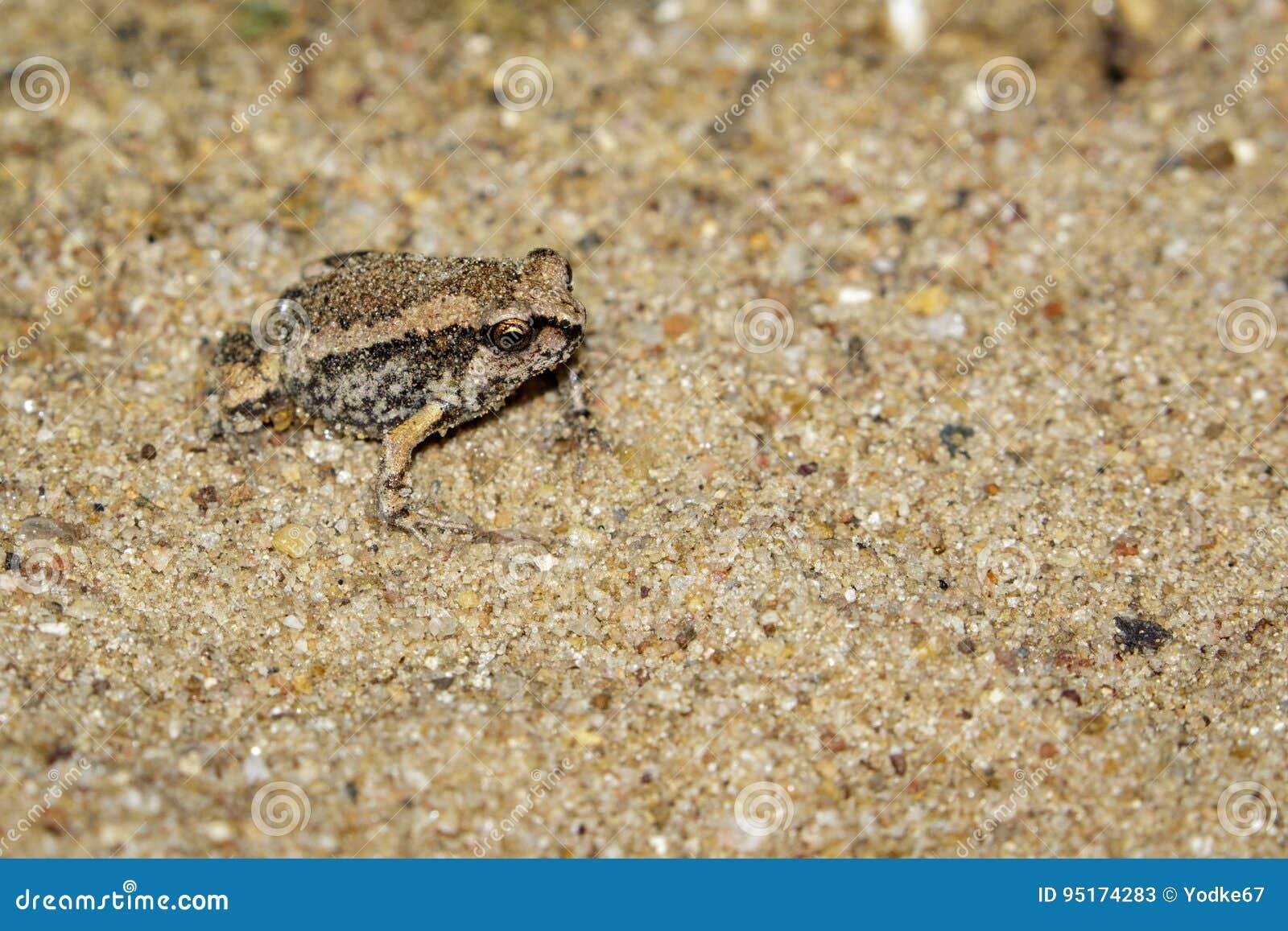 Image of little bullfrog Kaloula pulchra on the ground.