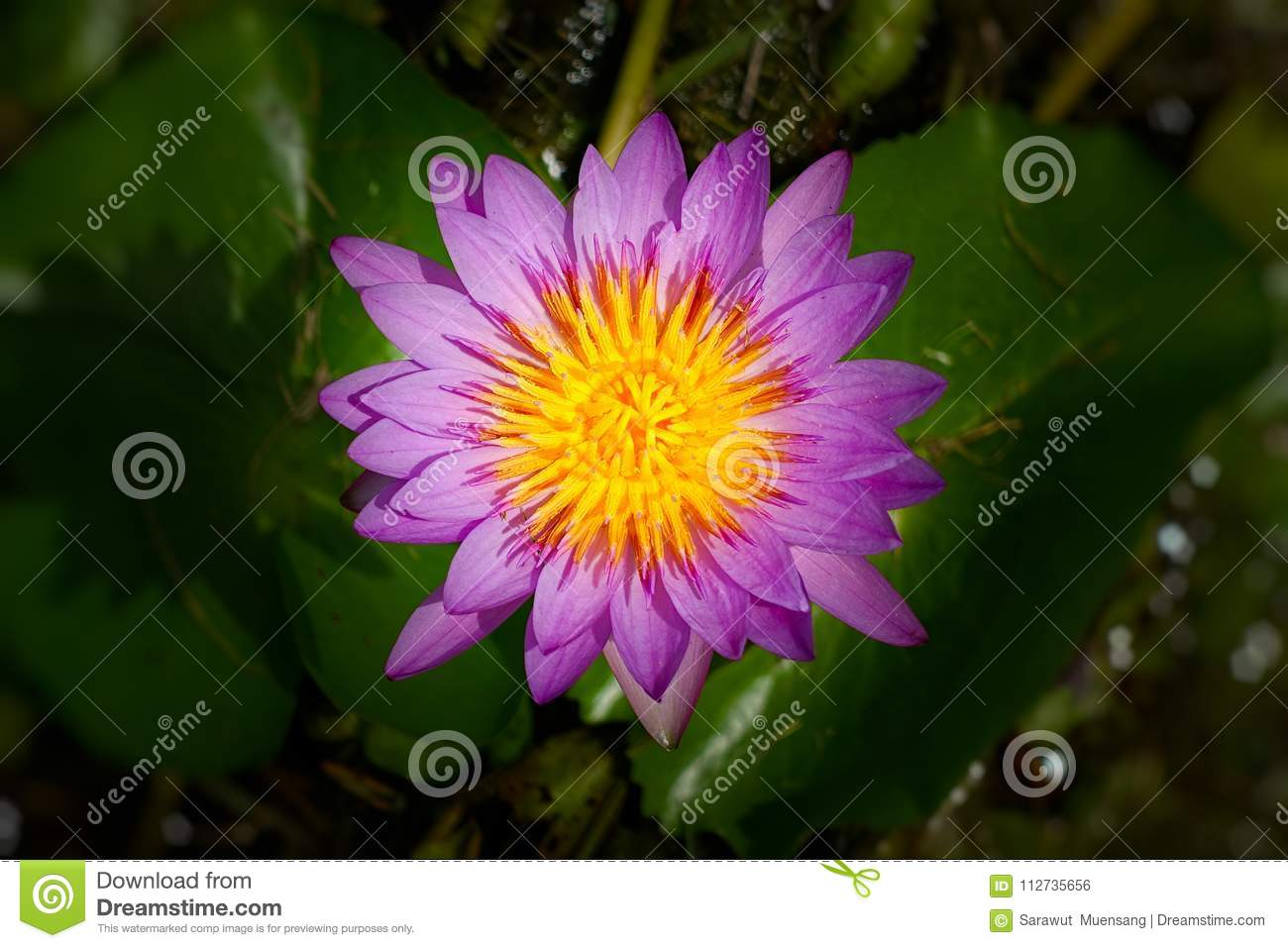 Image Of A Lotus Flower Stock Photo Image Of Flower 112735656